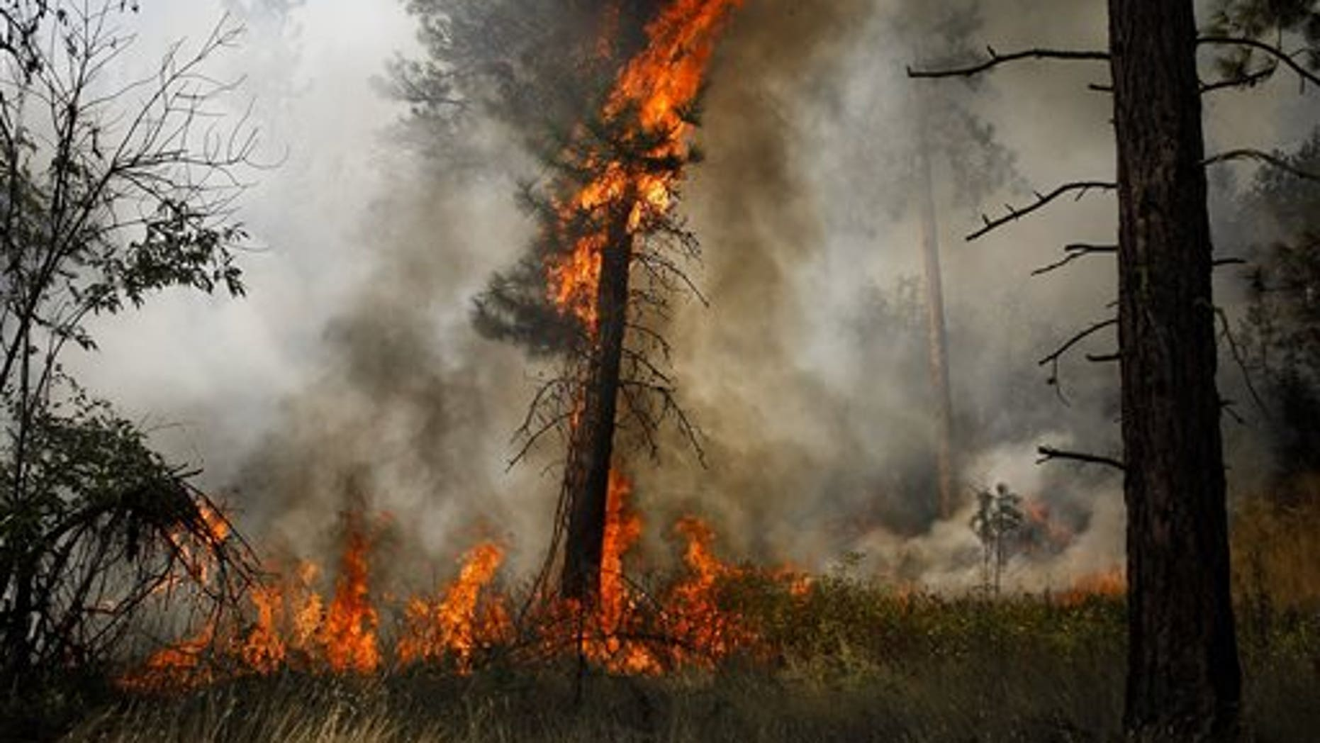 A tree is engulfed in flames during a controlled burn near a fire line outside of Okanogan, Wash., on Saturday, Aug. 22, 2015. (Ian Terry /The Herald via AP) MANDATORY CREDIT