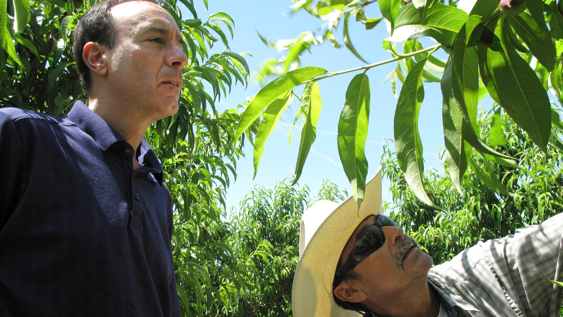 April 29, 2014: In this photo, Dan Gerawan, owner of at Gerawan Farming, Inc., left, talks with crew boss Jose Cabello in a nectarine orchard near Sanger, Calif.