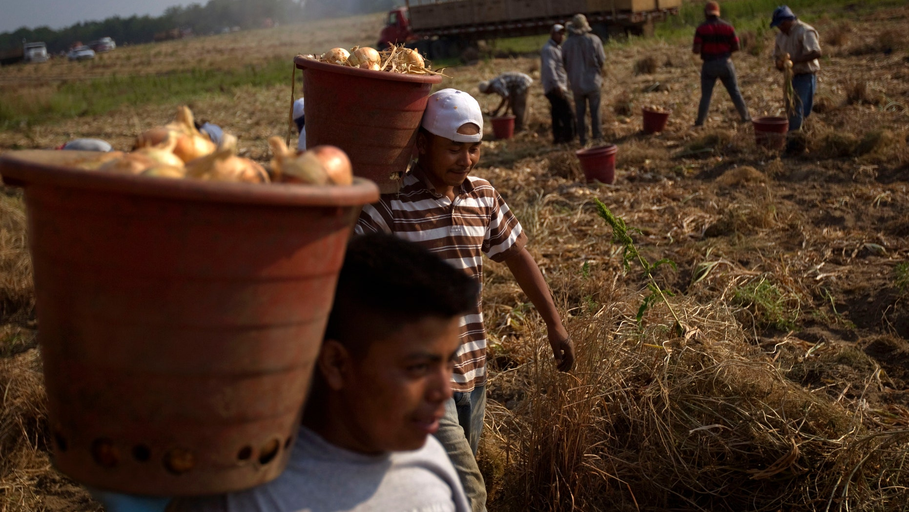 File - In this May 10, 2011 file photo, field workers pick onion bulbs on a Vidalia onion farm in Lyons, Ga. Georgia and Alabama have approved laws that have tough enforcement provisions that farmers say are scaring migrant workers away from the states.  (AP Photo/David Goldman, File)
