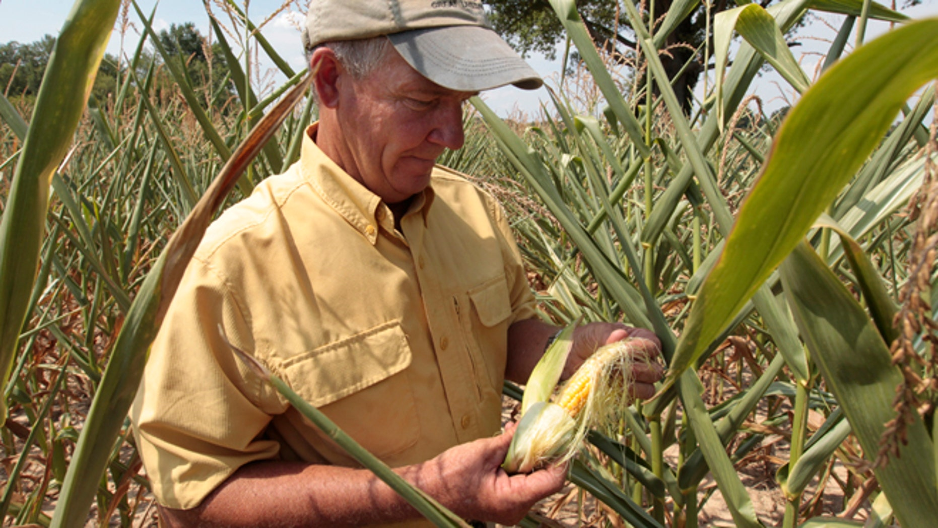 July 24: Farmer Scott Keach, owner of the 2500 acre Keach Farm looks looks over a drought-damaged ear of corn in one of the many fields on his farm in Henderson, Ky.