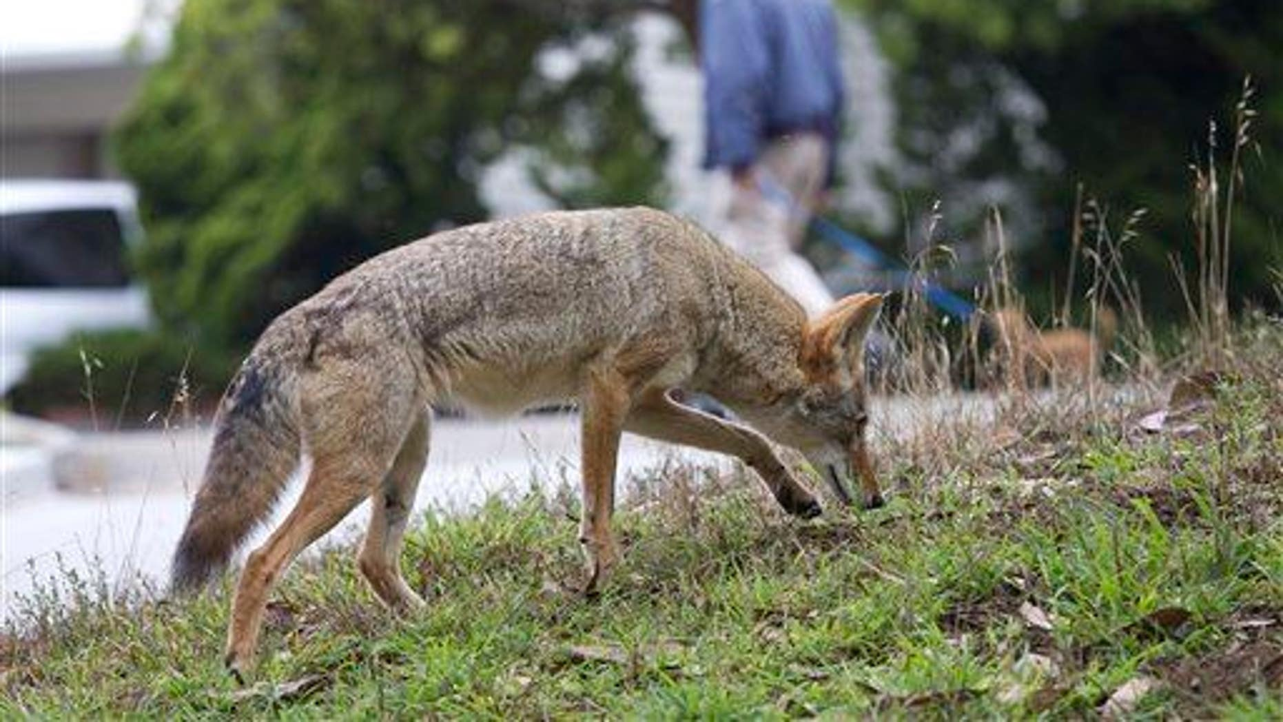 In this Sept. 2009 handout photo provided by Janet Kessler, a coyote is shown on a public street in San Francisco.