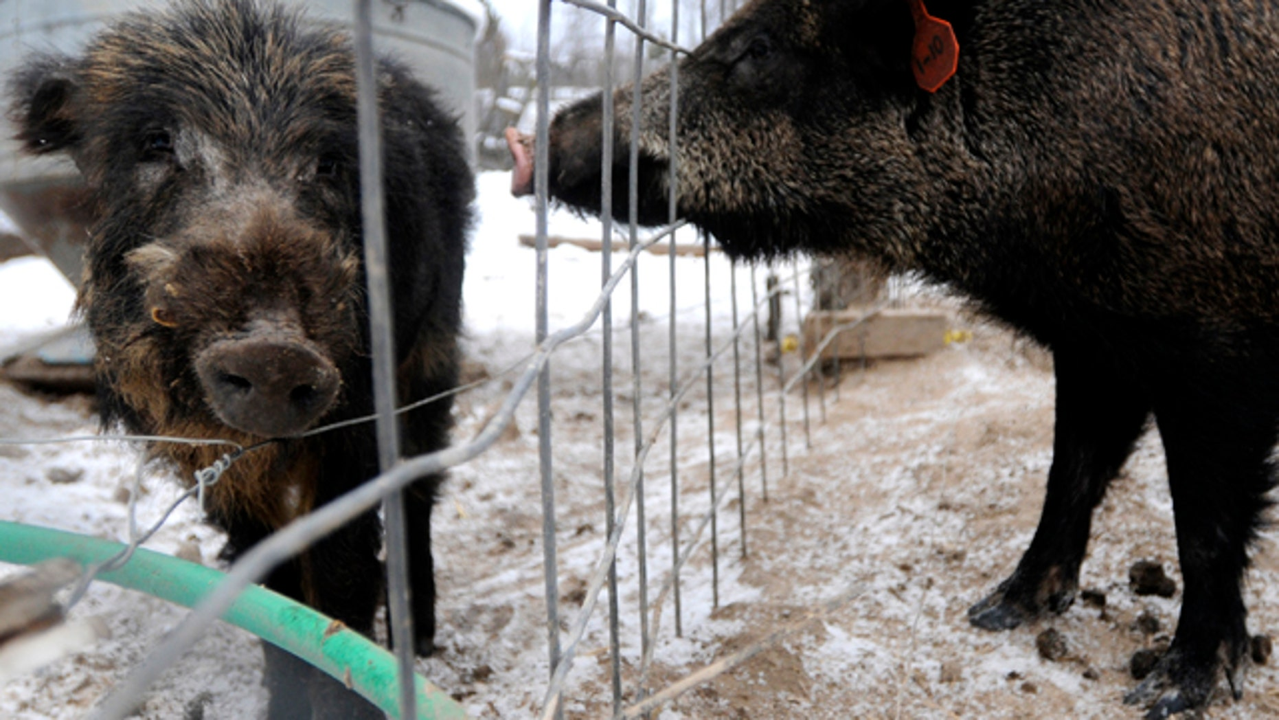 Jan. 13, 2011: Feral pigs stand at Renegade Ranch in Cheboygan, Mich., where hunters can hunt a variety of game including feral pigs.