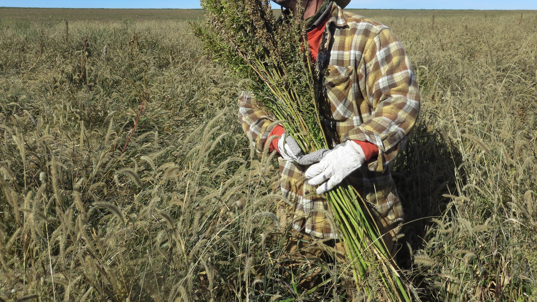 Oct. 5, 2013: In this photo, Derek Cross, a chef who specializes in cooking with hemp, helps harvest the plant in Springfield, Colo.
