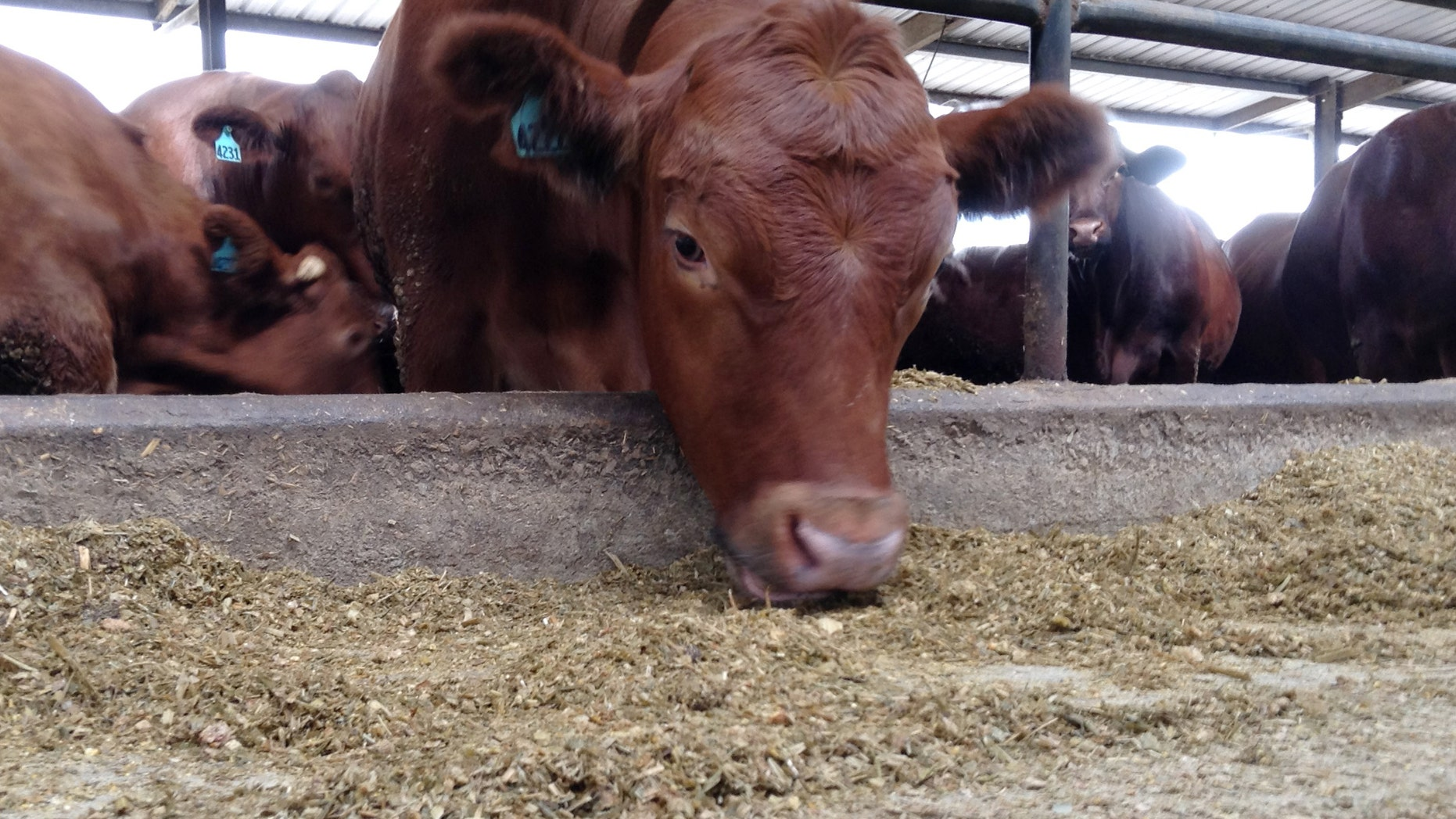 Oct. 15, 2013: In this photo, a cow eats in a feedlot at Suwannee Farms in O'Brien, Fla.