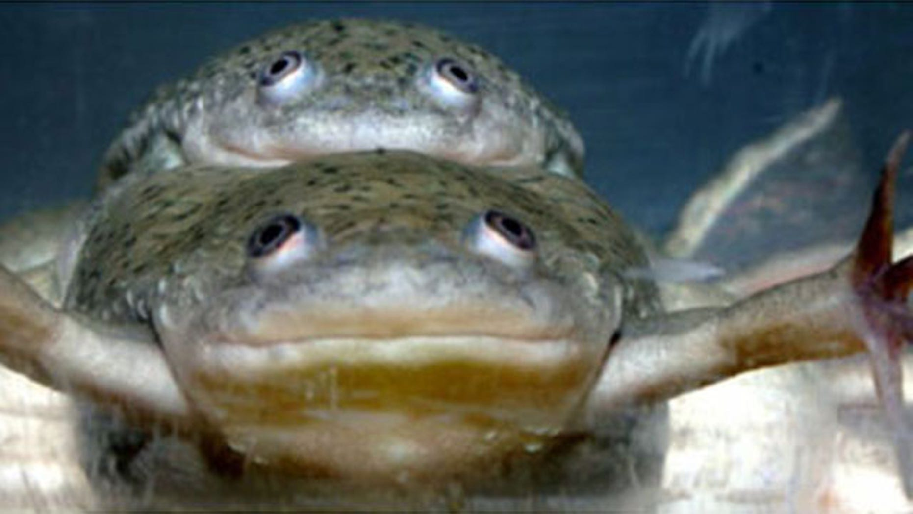 The pesticide atrazine can turn male frogs into females that are able to mate and successfully reproduce. Here, two male frogs mating. The larger animal on the bottom has been completely feminized by atrazine exposure and can produce viable eggs.