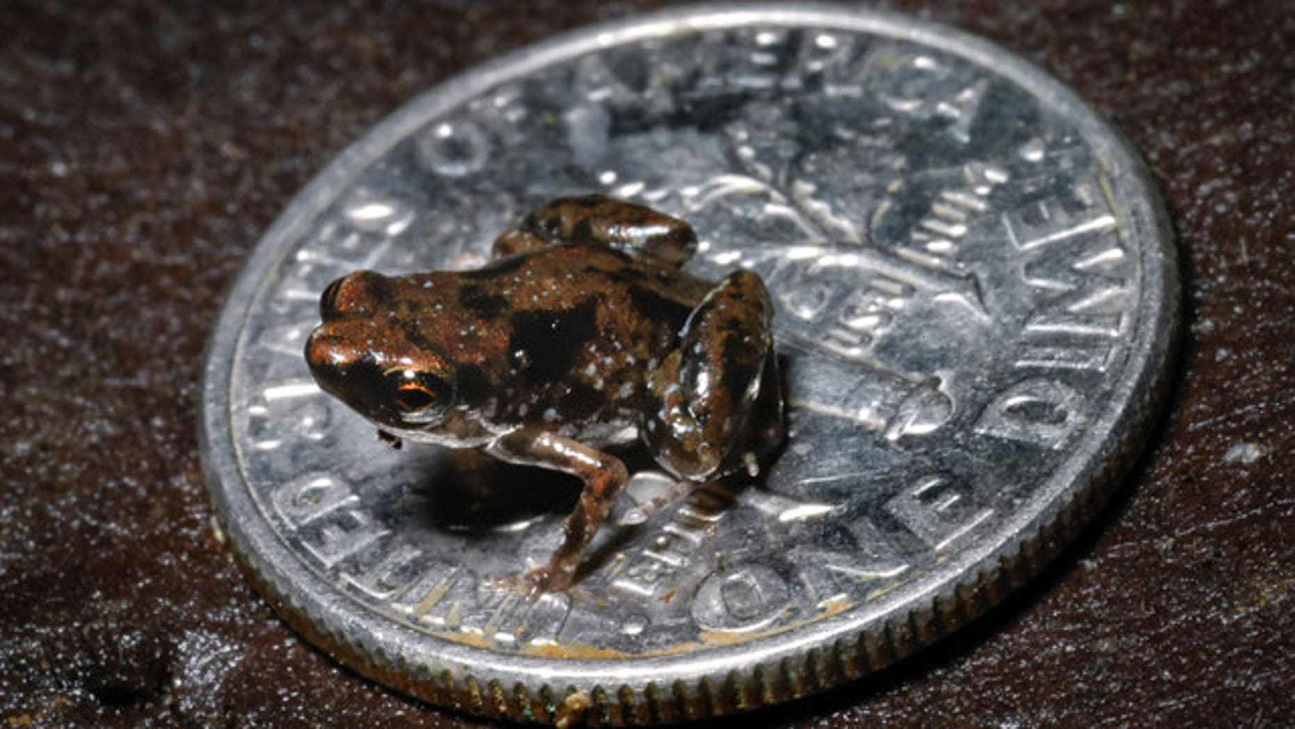 In this Aug. 2009 photo released by Louisiana State University, a frog sits on a U.S. dime in this photo taken by Louisiana State University herpetologist Christopher Austin near the Amau River in Papua, New Guinea.