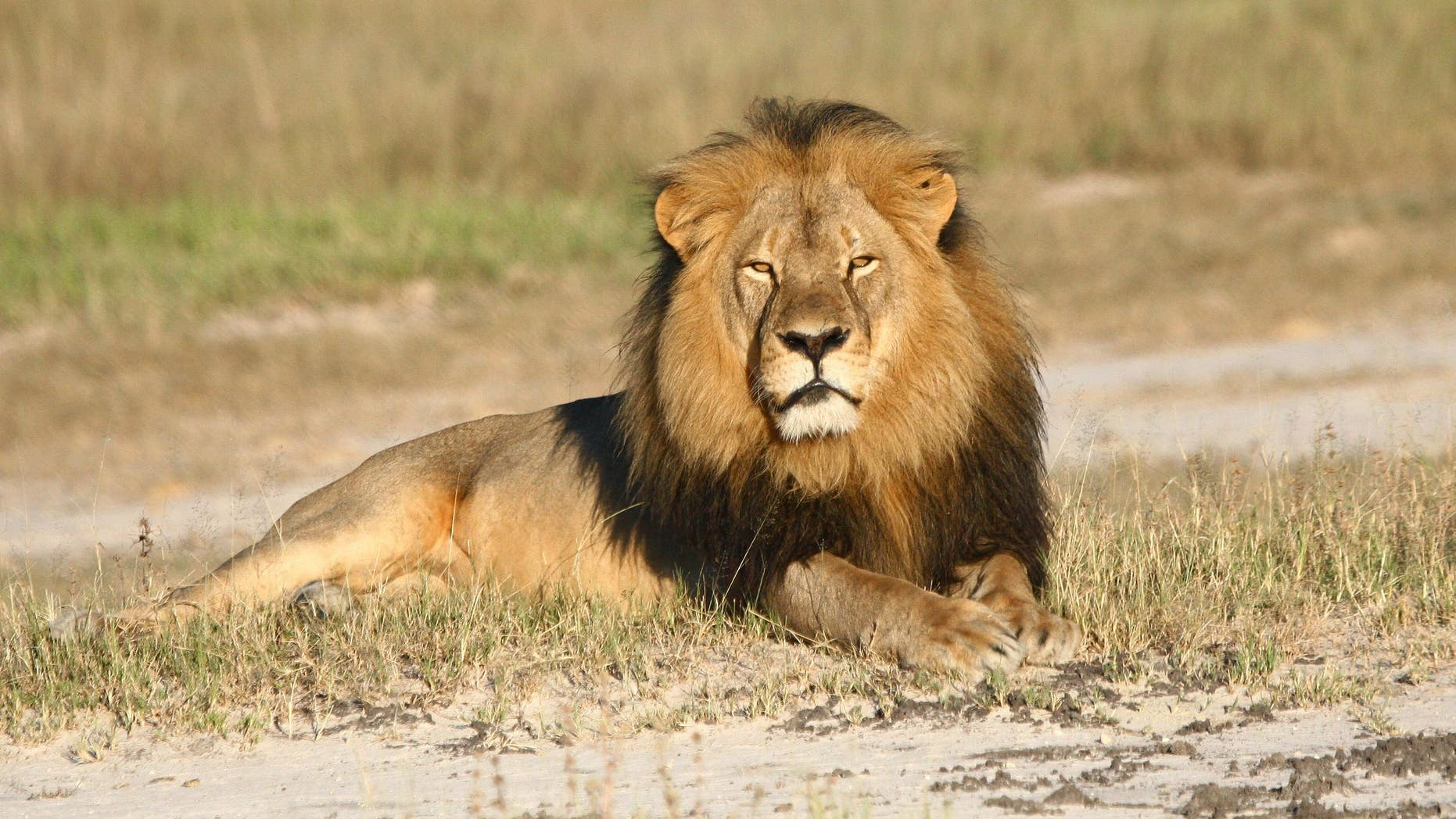 In this undated photo provided by the Wildlife Conservation Research Unit, Cecil the lion rests in Hwange National Park, in Hwange, Zimbabwe.