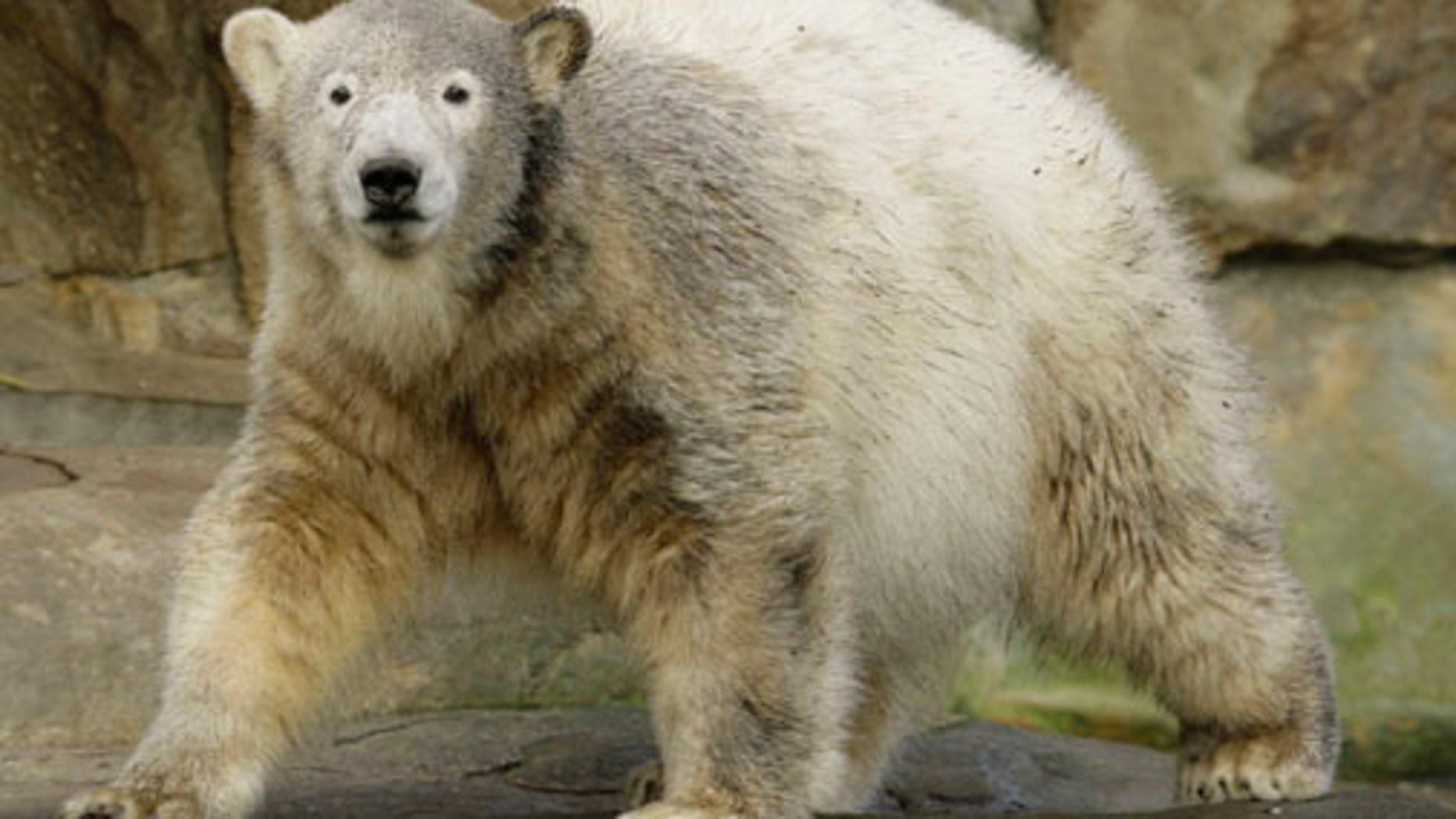 Polar bears went on a rampage in a Russian village.