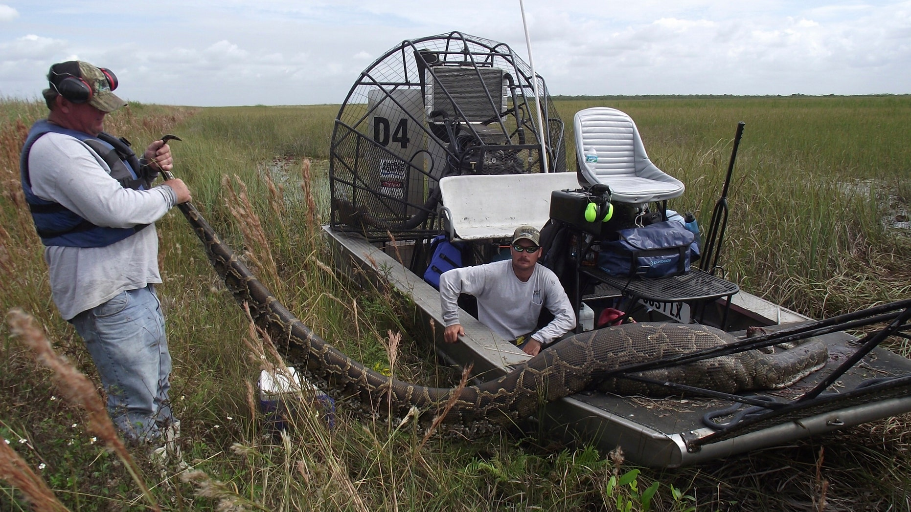 Oct. 27, 2011: the South Florida Water Management District, workers are shown holding a nearly 16-foot long Burmese Python that was captured and killed in Everglades National Park, Florida.