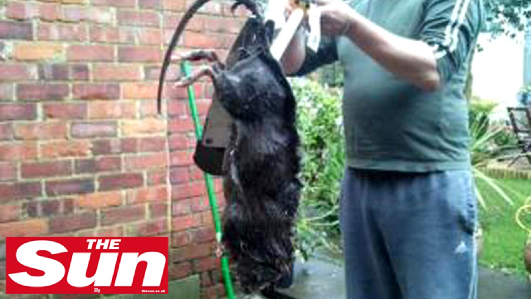 Ratzilla? This giant critter, either a rat or a South American copyu, was killed in a housing complex in England.
