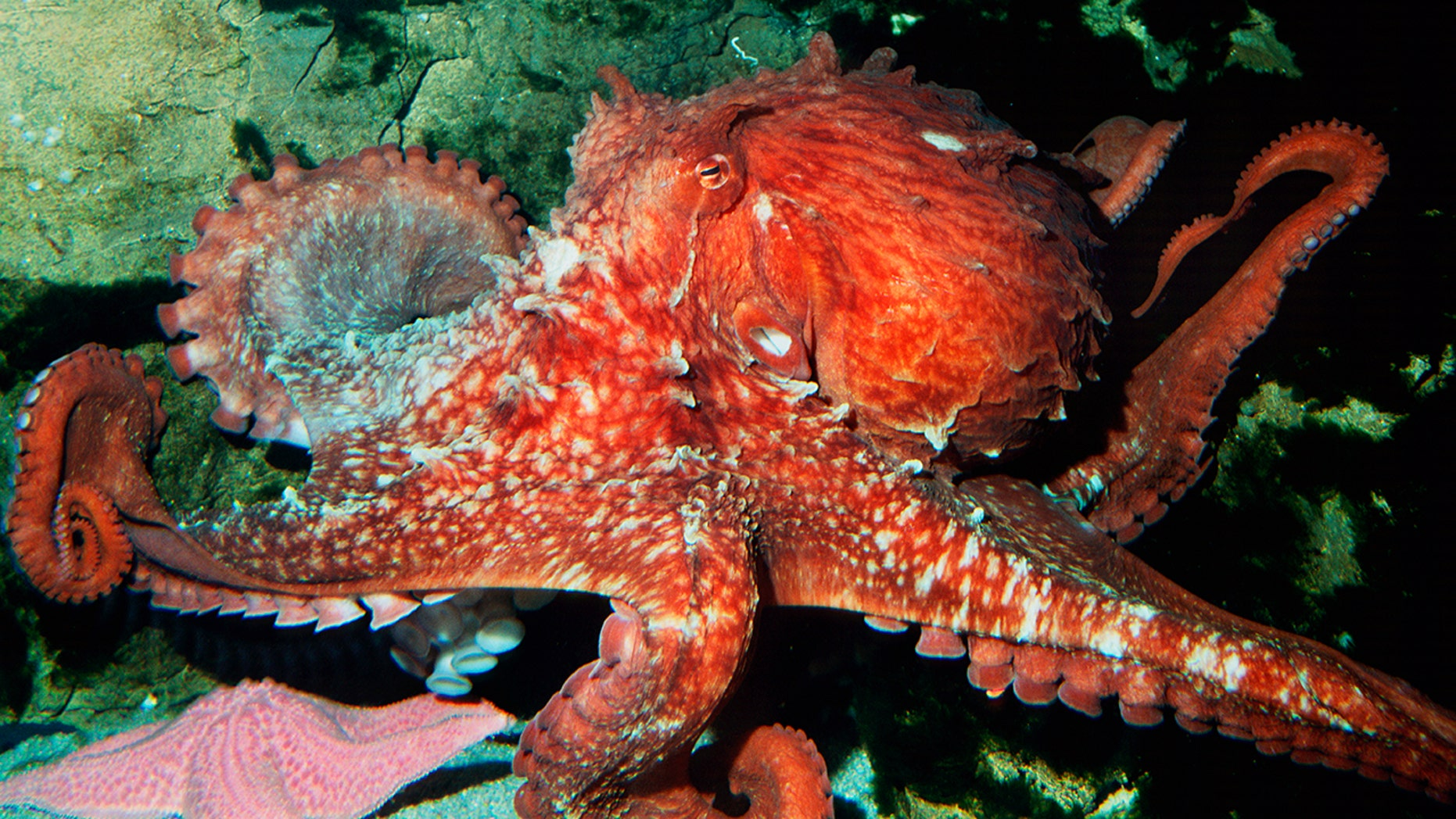 A Giant Pacific octopus, named Rabiot, correctly 'predicted' two of Japan's World Cup results before he was sent to the market.