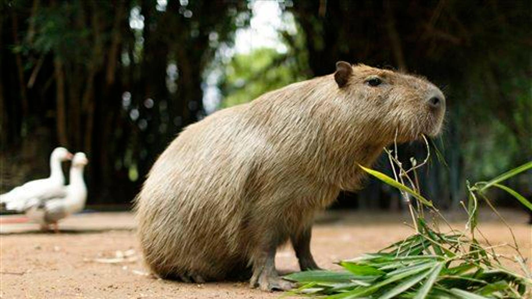 A capybara eats a plant at a zoo in Asuncion, Paraguay, on Feb. 18, 2011.