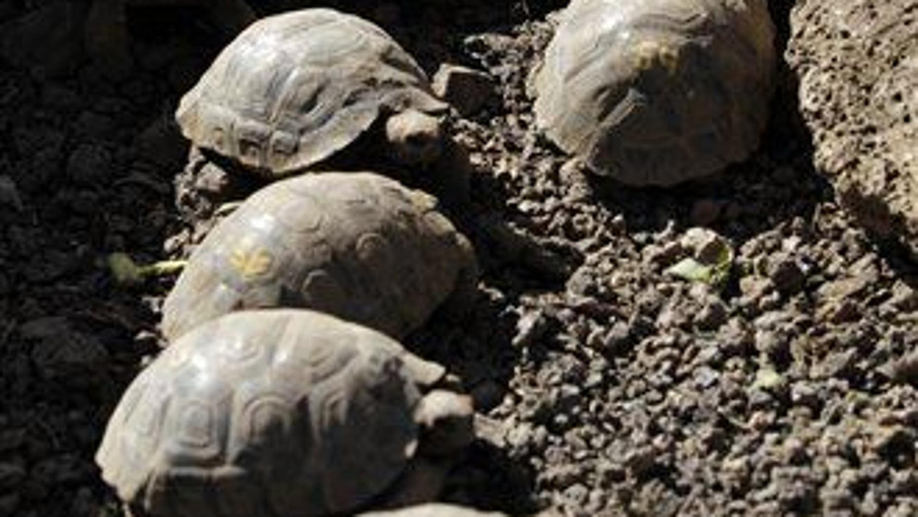 In this 2012 photo, tortoises are seen at the Fausto Llerena Breeding Center of the Galapagos National Park and the Charles Darwin Research Station on another Galapagos island.