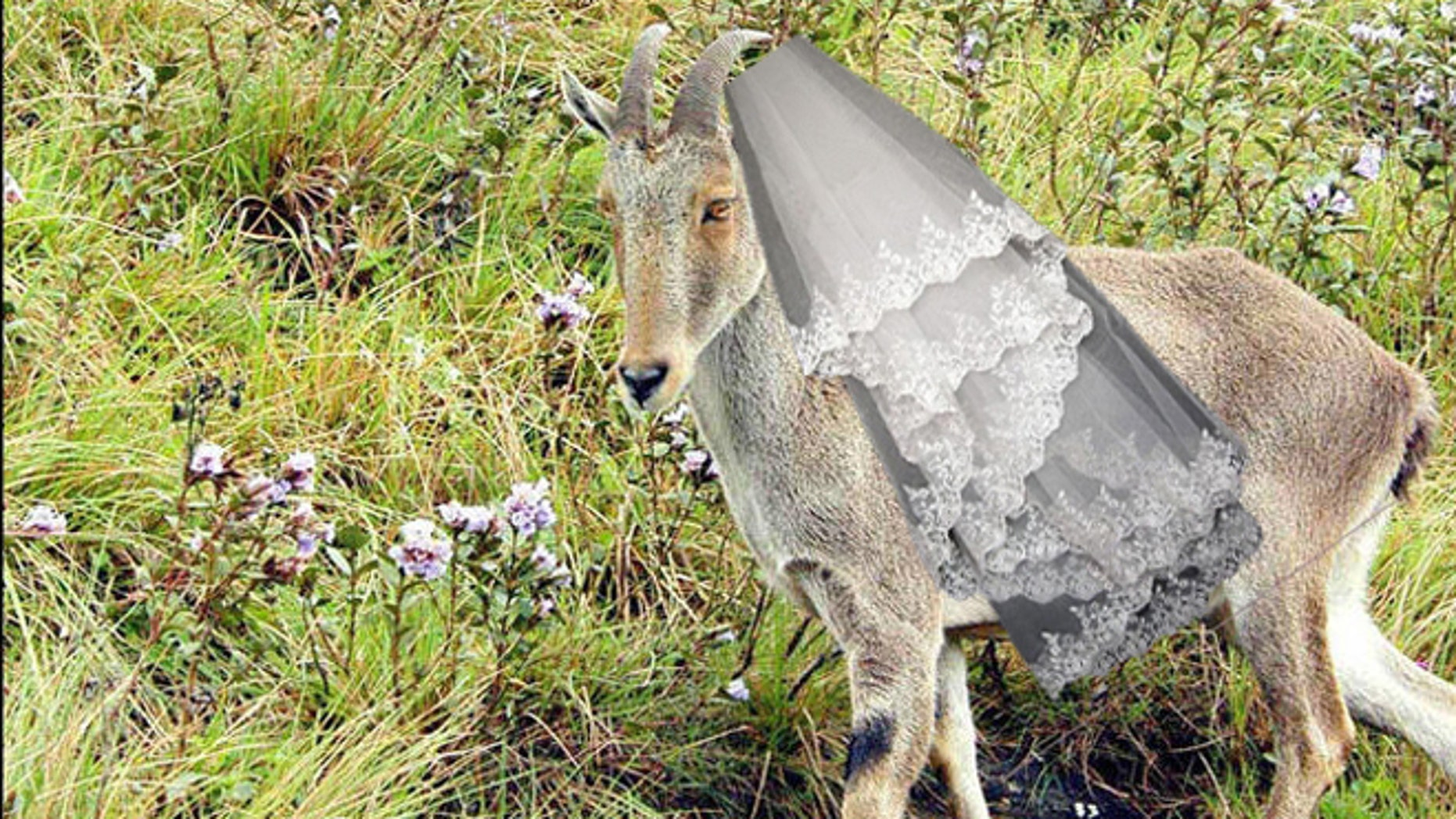 A Nilgiri Tahr, an endangered wild goat species, walks on a hill covered with neelakurinji flowers, or strobilanthus, in Munnar, in the southern Indian state of Kerala, Thursday, Sept. 14, 2006. The flower blooms once in twelve year. (AP Photo)