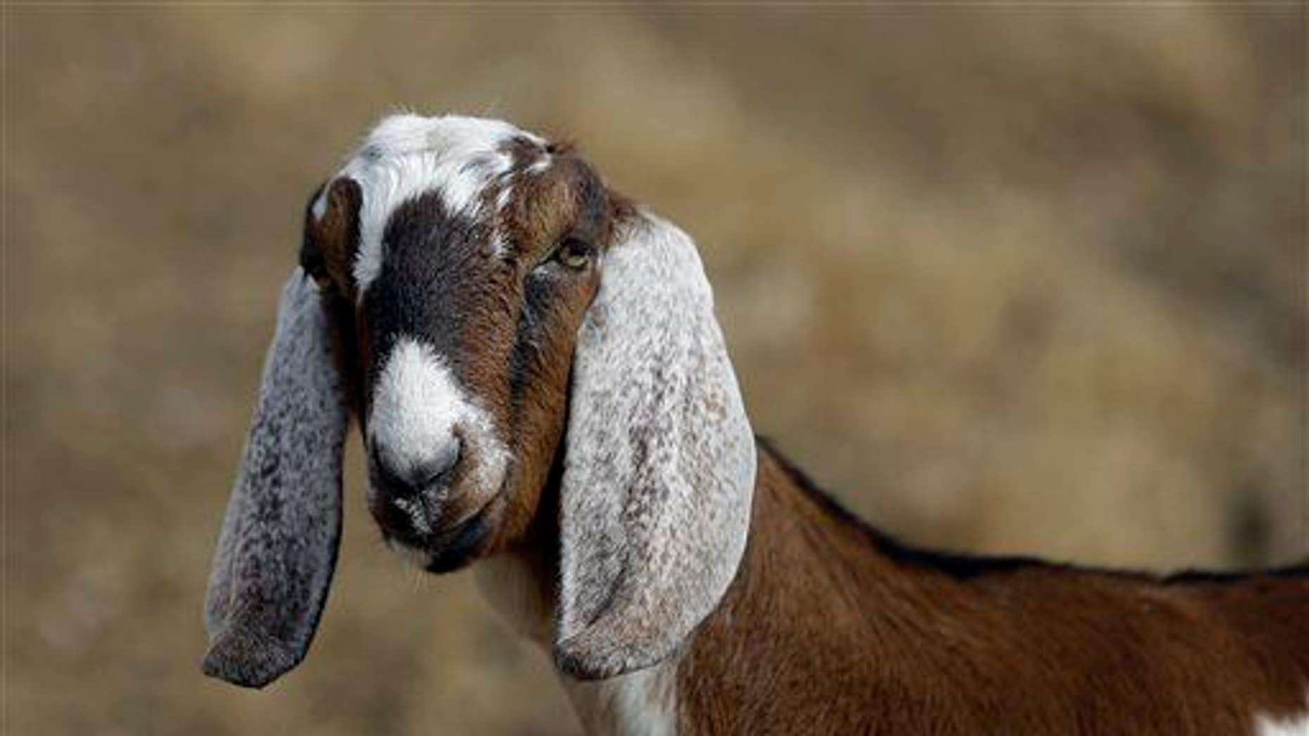 A dairy goat is seen at Buffalo Creek Farm and Creamery in Germanton, NC.