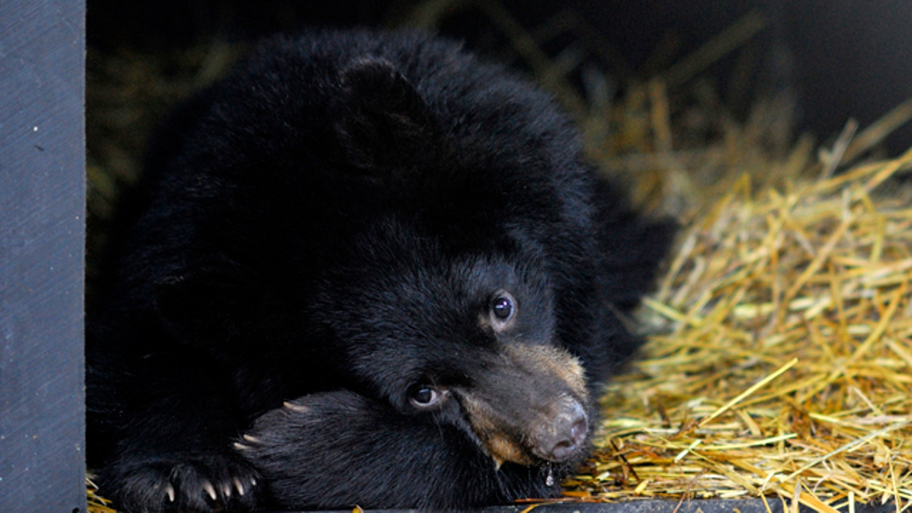 Hibernating bears -- like this American Black Bear -- set their energy demands to low, but they don't chill out very much, according to new research.