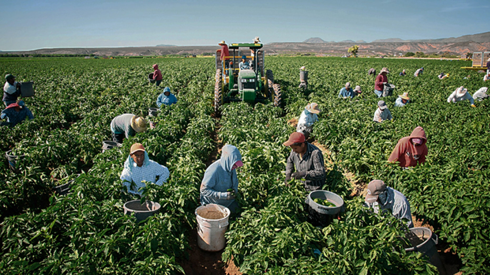 In this Saturday, July 25, 215 photo, workers harvest chile on the 350-acre Adams Produce farm near Hatch, New Mexico. Efforts are underway to save the green chile thats important to traditional New Mexican fare as labor shortages, a previous severe drought and competition from China, India and Mexico endanger its growth in the state. (Jett Loe/Las Cruces Sun-News via AP)MANDATORY CREDIT