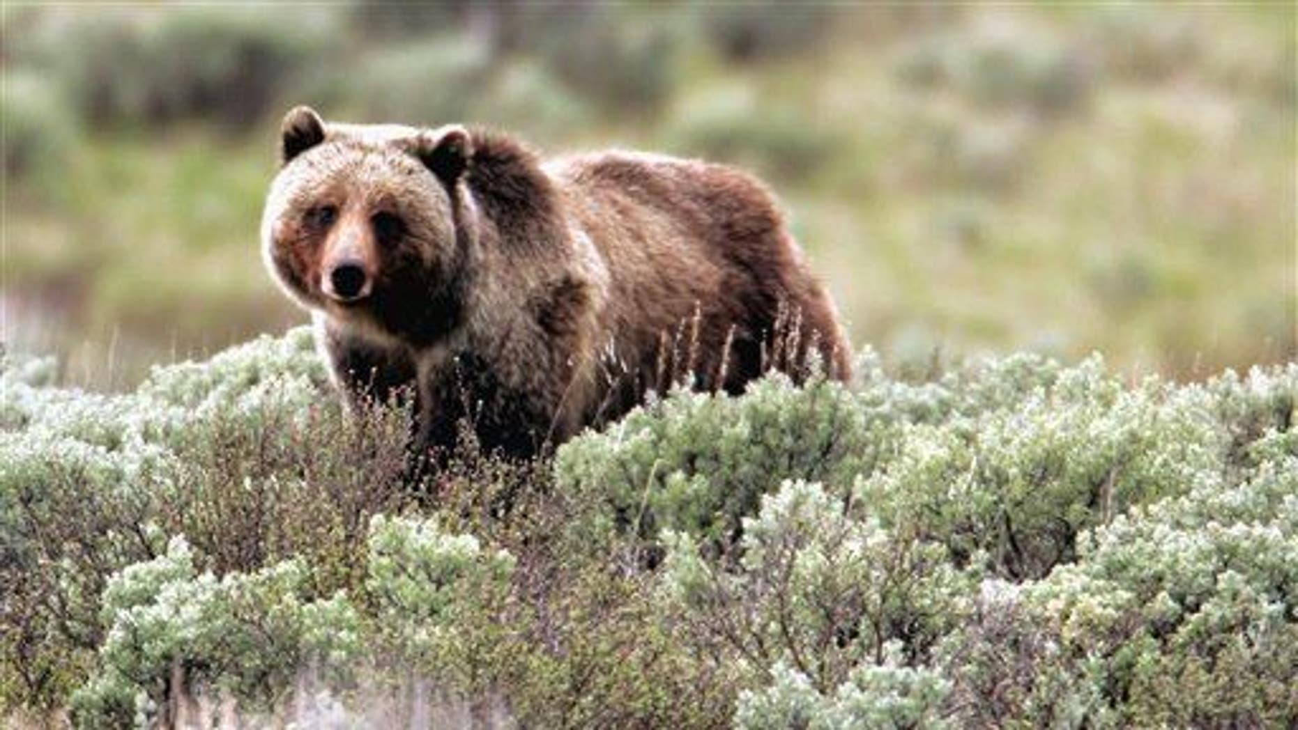 In this file photo provided by Yellowstone National Park, a grizzly bear moves through the park.
