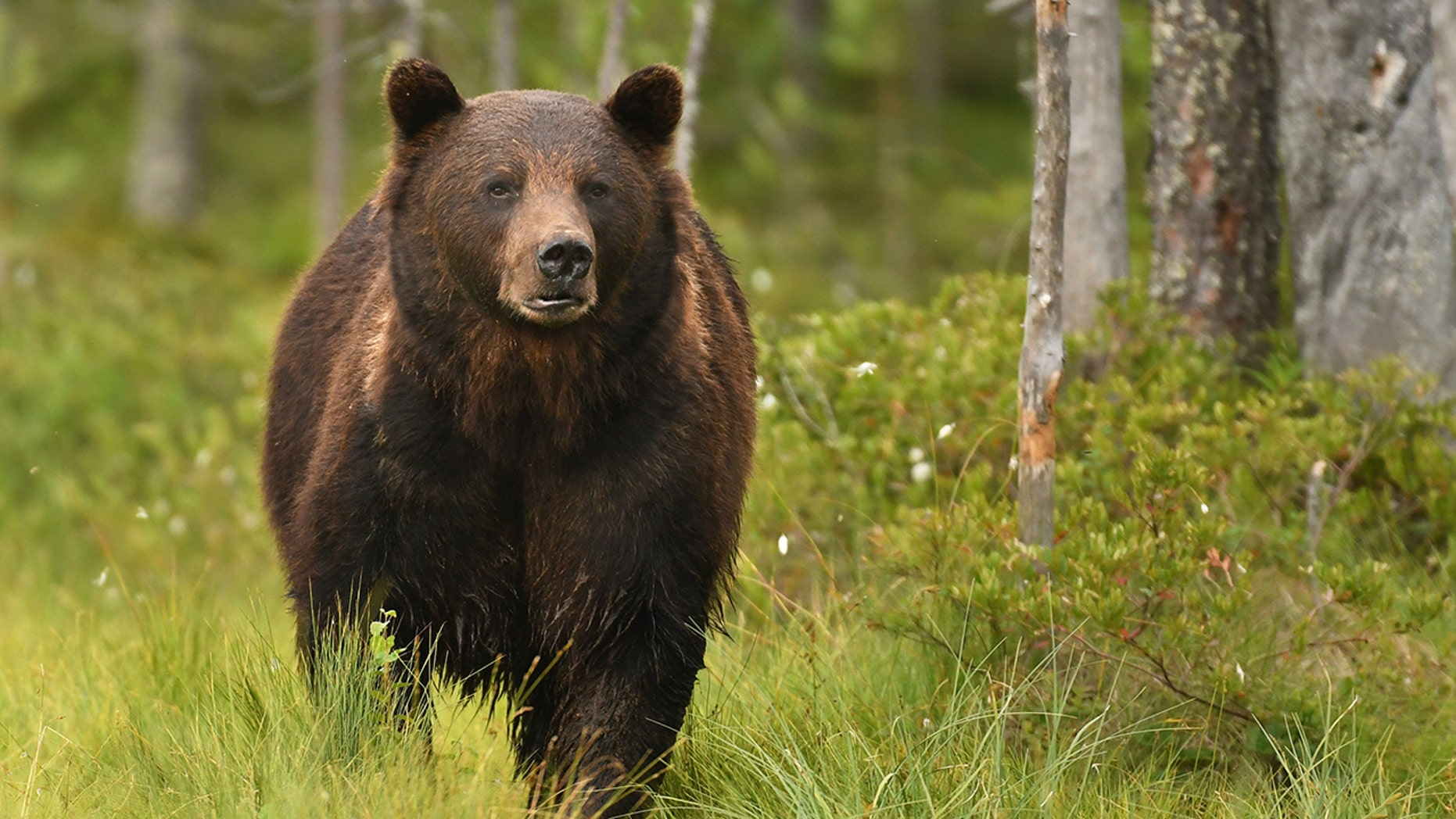 A federal judge is set to rule Thursday on hunting of Yellowstone-area grizzly bears on Thursday.