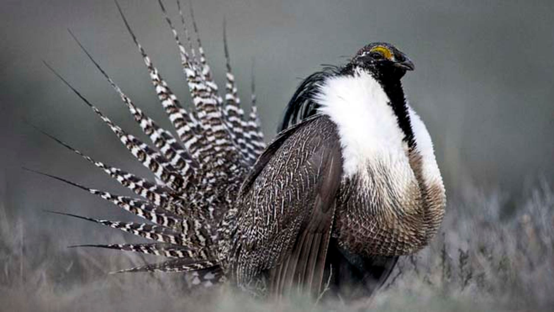 This April 2014 file photo provided by Colorado Parks and Wildlife shows a Gunnison sage grouse with tail feathers fanned near Gunnison, Colo.