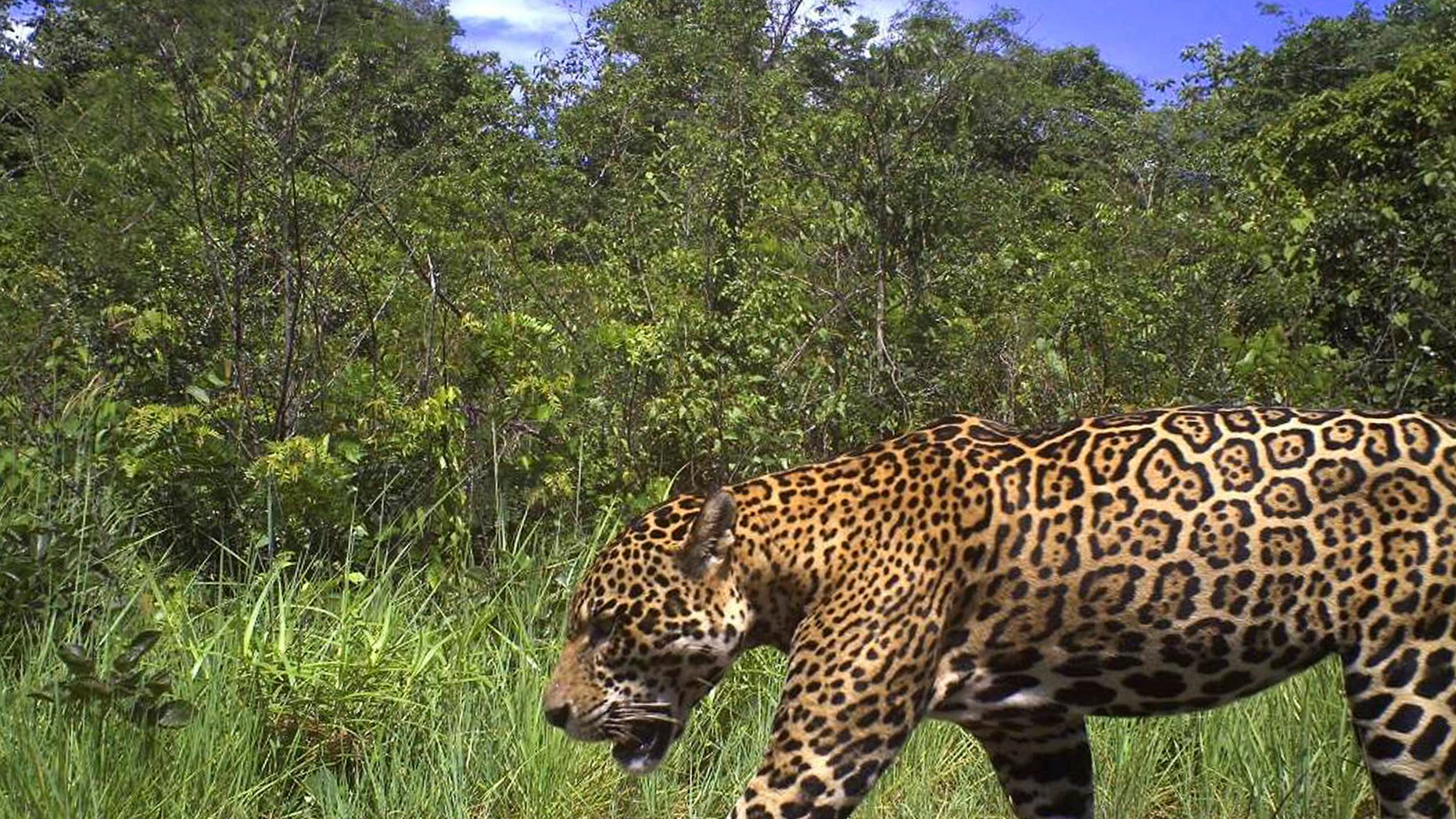 In this photo released by the New York-based conservation group Panthera, a male jaguar is photographed by a camera trap on Karanambu Ranch, in the Rupununi region of Guyana, in 2011. The lushly forested nation of Guyana on Jan. 24, 2013 joined a regional pact to protect jaguars.