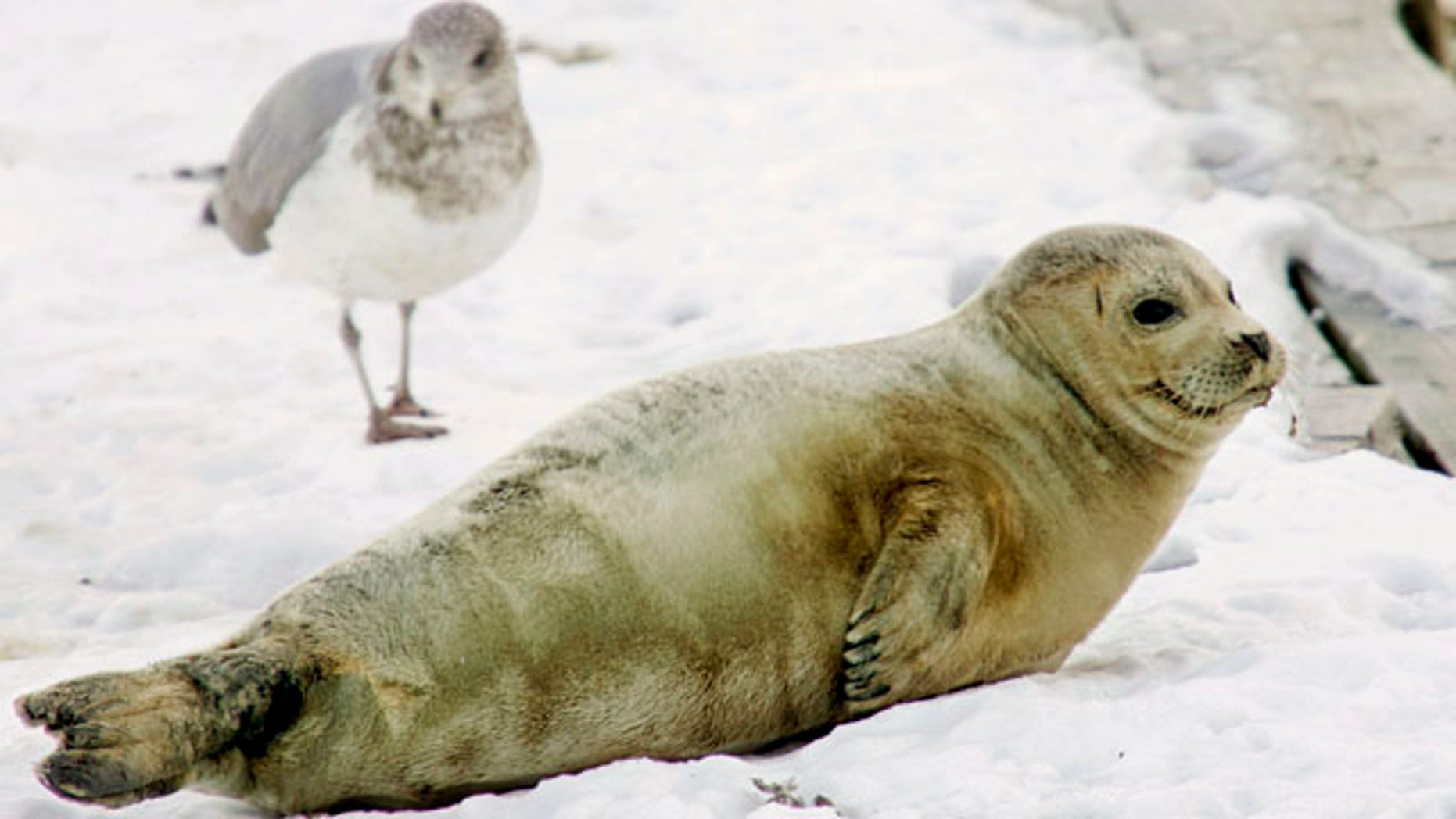 In this Jan. 27, 2009 file photo, a juvenile harp seal rests on an ice covered dock next to a seagull in Boston Harbor.