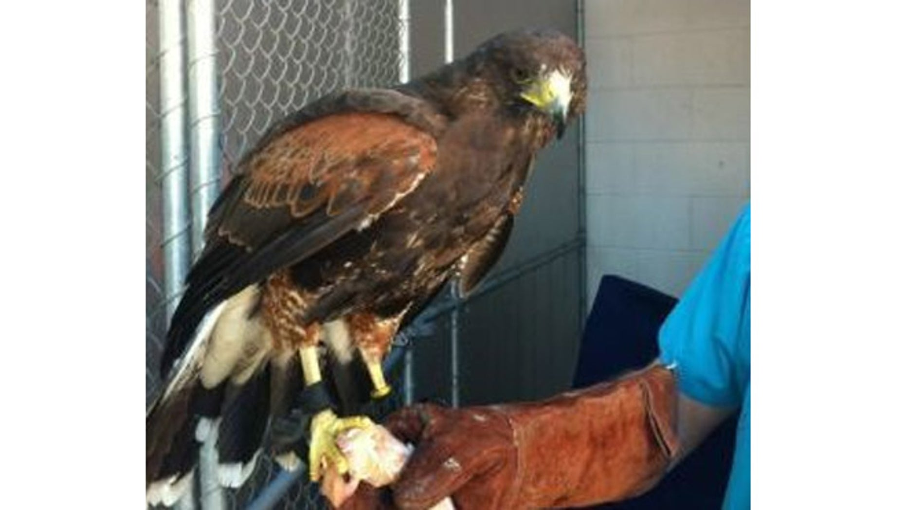 A hawk used for hunting was found outside a California restaurant.