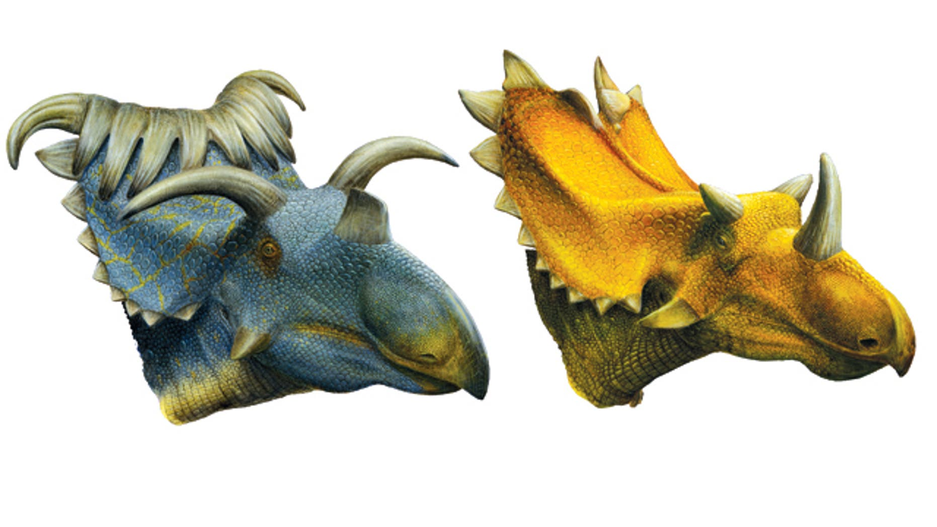 A bizarre dinosaur with 15 horns (at left) is one of two new close relatives of Triceratops that scientists unearthed in southern Utah from lands once part of a now-lost continent.
