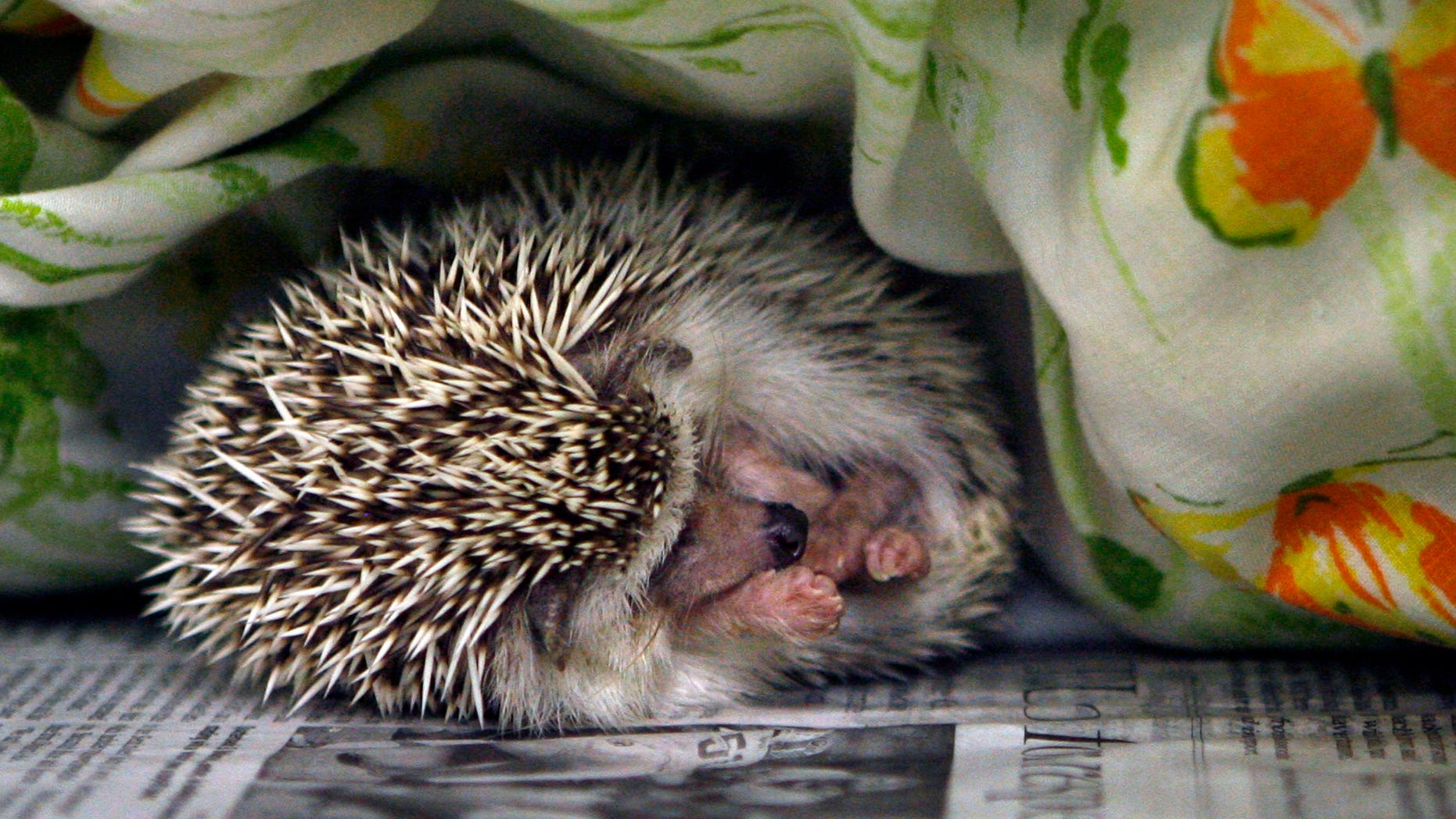 A hedgehog sleeps at the SPCA in Largo, Fla., in a Monday, Jan. 7, 2013 file photo.