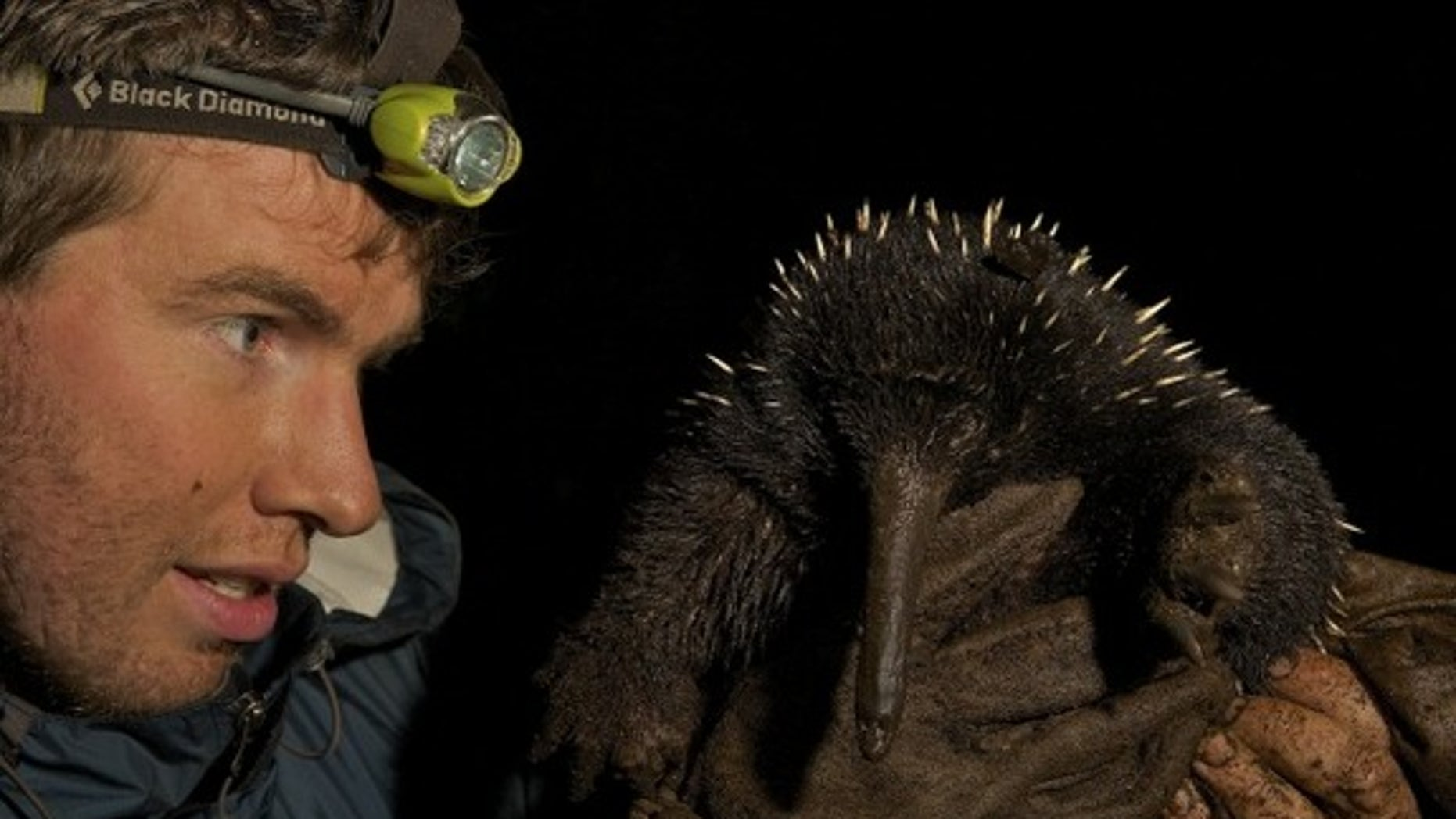 Long-beaked echidna from New Guinea