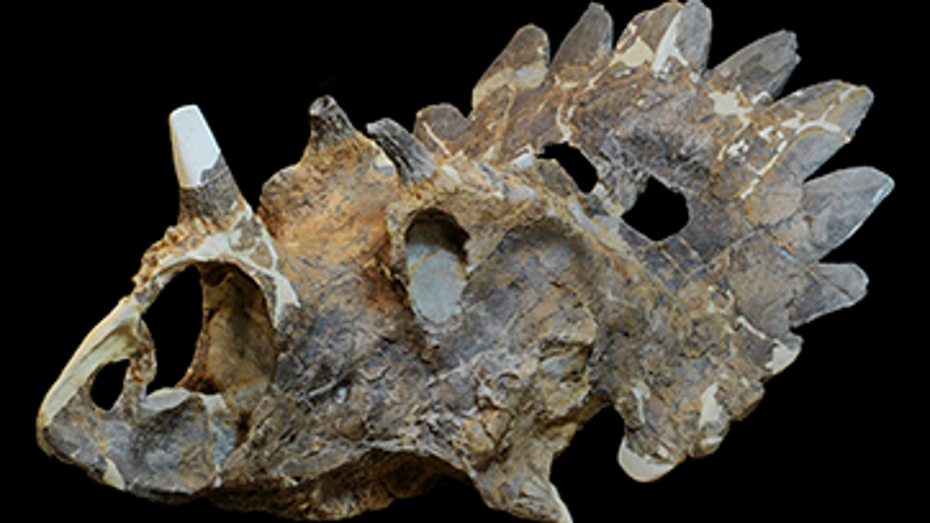 Regaliceratops peterhewsi is a newly described genus and species of ceratopsid (horned dinosaur)  that lived during the Late Cretaceous 68.5 – 67.5 million years ago.