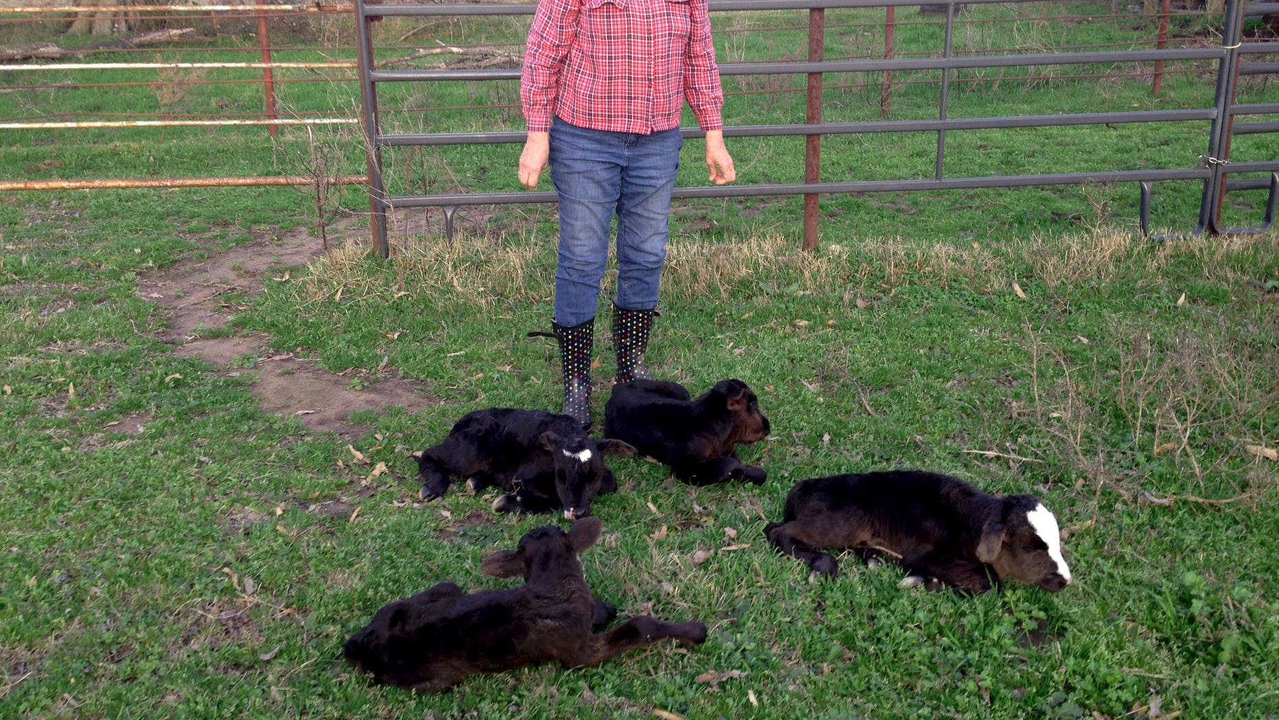 March 16: This photo provided by Jimmy Barling shows his wife, Dora Rumsey-Barling among four newborn calves near DelKalb, Texas. A momma cow has apparently defied great odds and given birth to four calves.