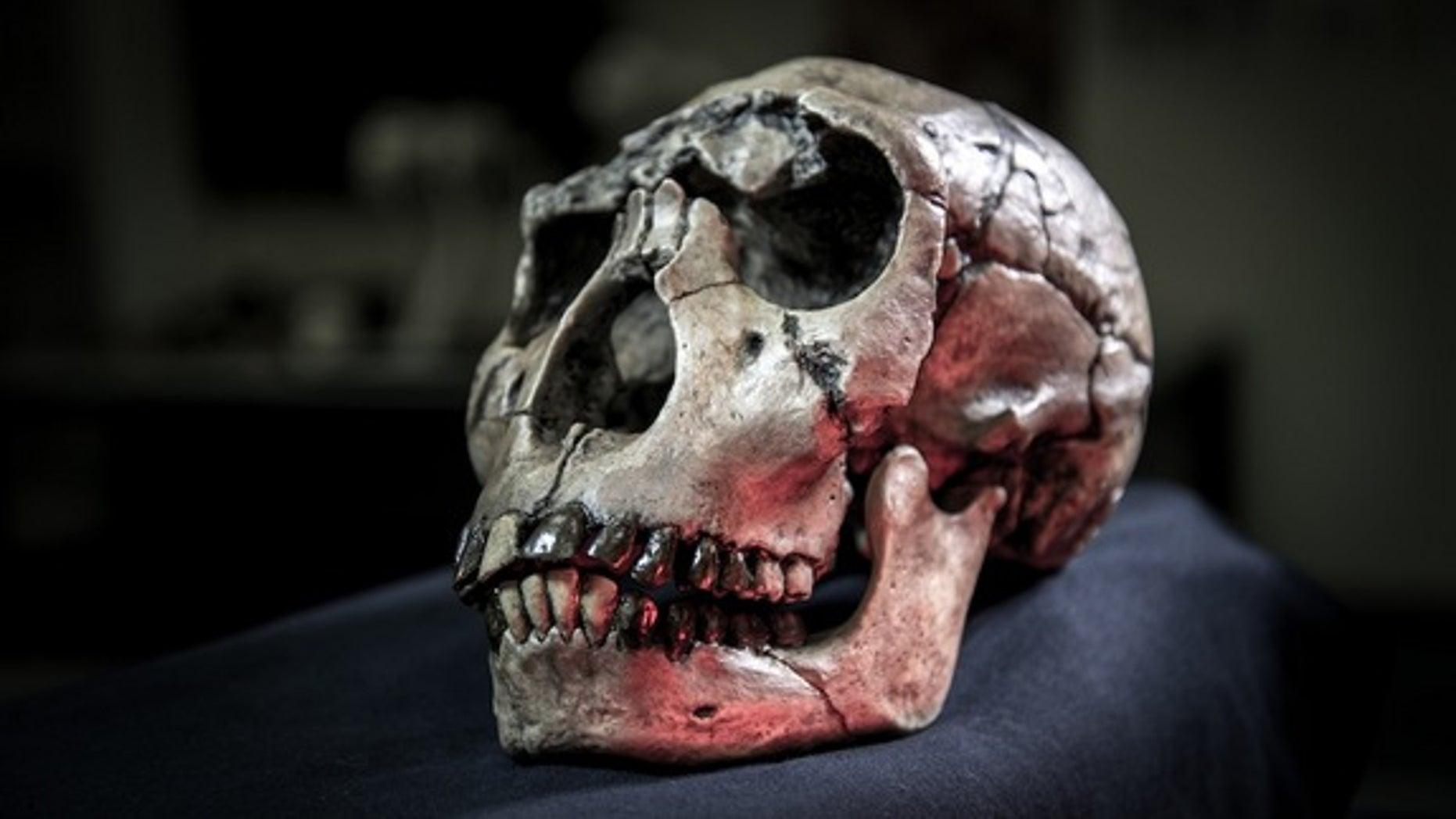 Cast of a skull of the hominin <em>Homo ergaster</em> from Kenya.