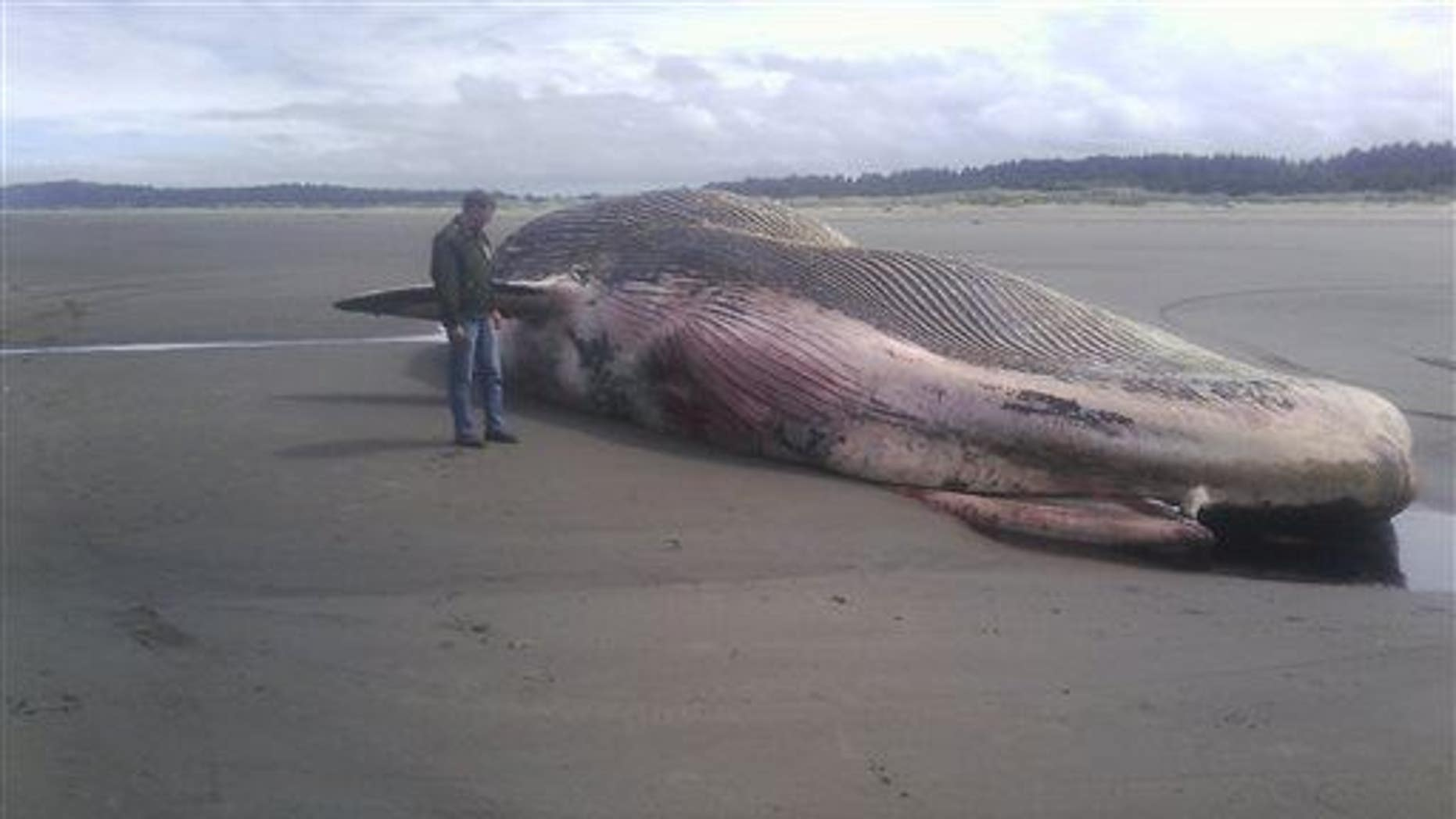 Another dead whale, this one found in Washington state, was also thought to be a sei whale.