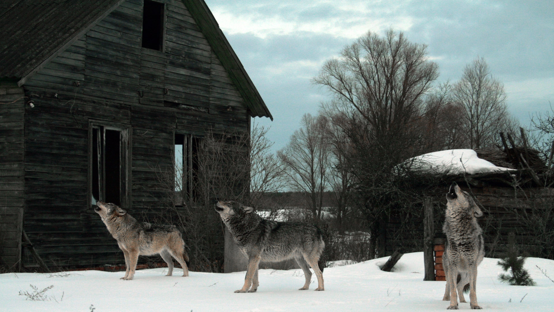 Howling wolves in abandoned village (Chernobyl) (Ihar Byshniou) (Credit: iStock)