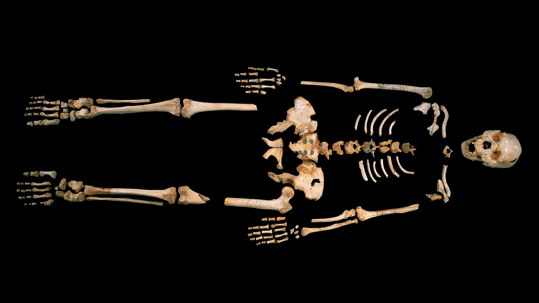 Skeleton of a hominin estimated to be 400,000-years-old, excavated from Sima de los Huesos, Spain.