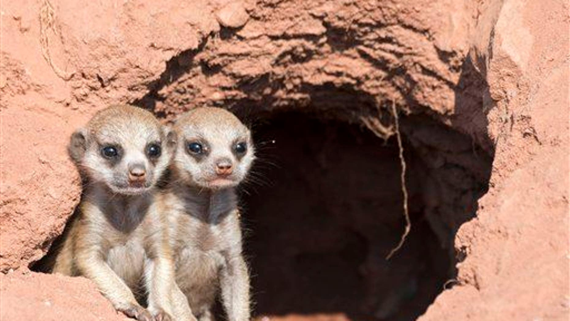 They look cute, but meerkats are most species most prone to lethal violence, a new study found.