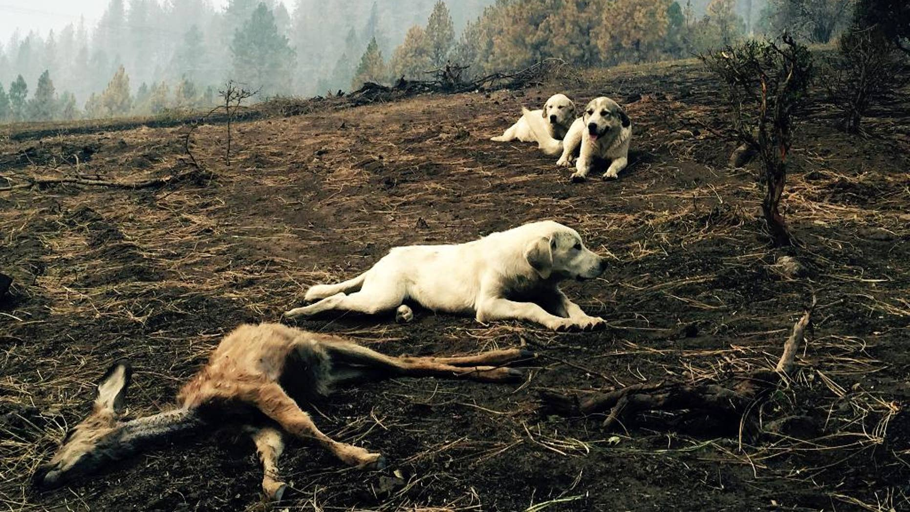 In this Monday, Aug, 17, 2015, photo, a sheep dog and her two pups protect a dead fawn, killed when fire swept through Kamiah, Idaho. The dogs stayed for hours, warding off people and potential predators, according to a witness. The group of fires near Kamiah, in northern Idaho, has destroyed more than 40 homes. (Louis Armstrong via AP)
