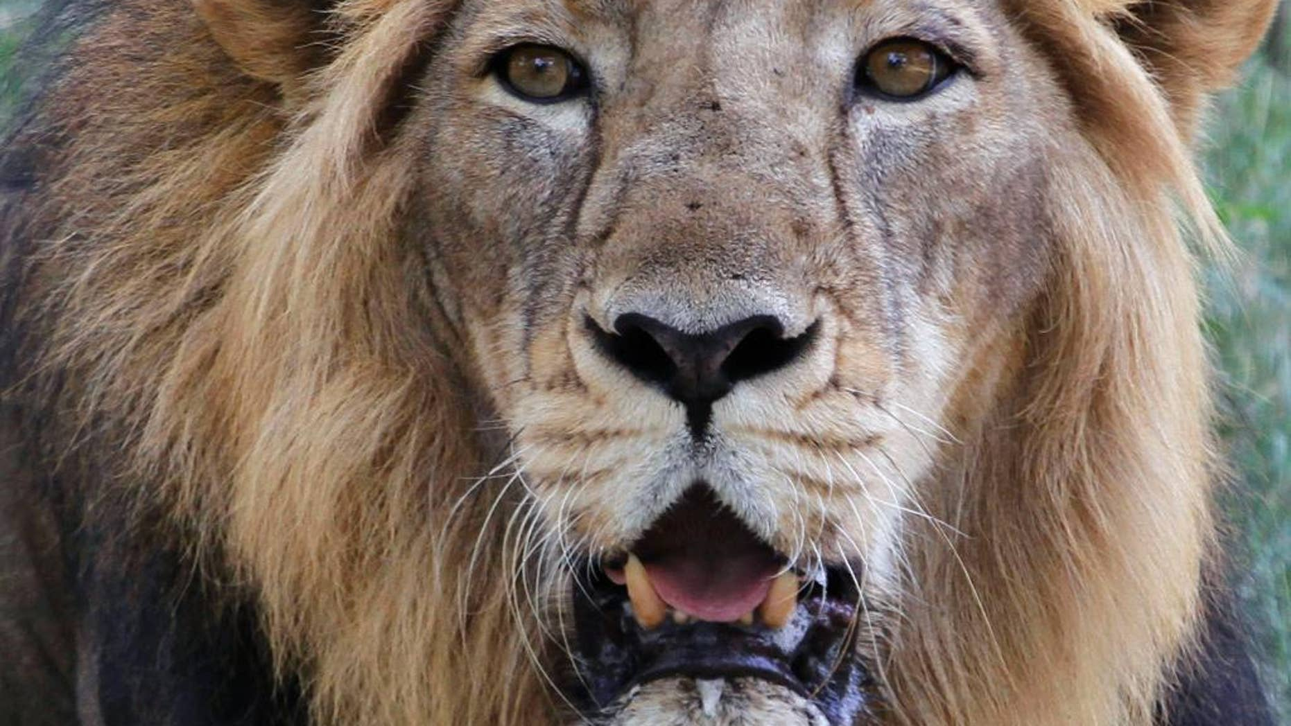 FILE - In this May 10, 2015 file photo, an Asiatic lion rests at its enclosure at the Kamala Nehru Zoological Garden in Ahmadabad, India. Gujarat forest officials say in a report that the rains killed at least 10 of the country's 523 lions, the last members of the subspecies left anywhere in the wild. (AP Photo/Ajit Solanki)