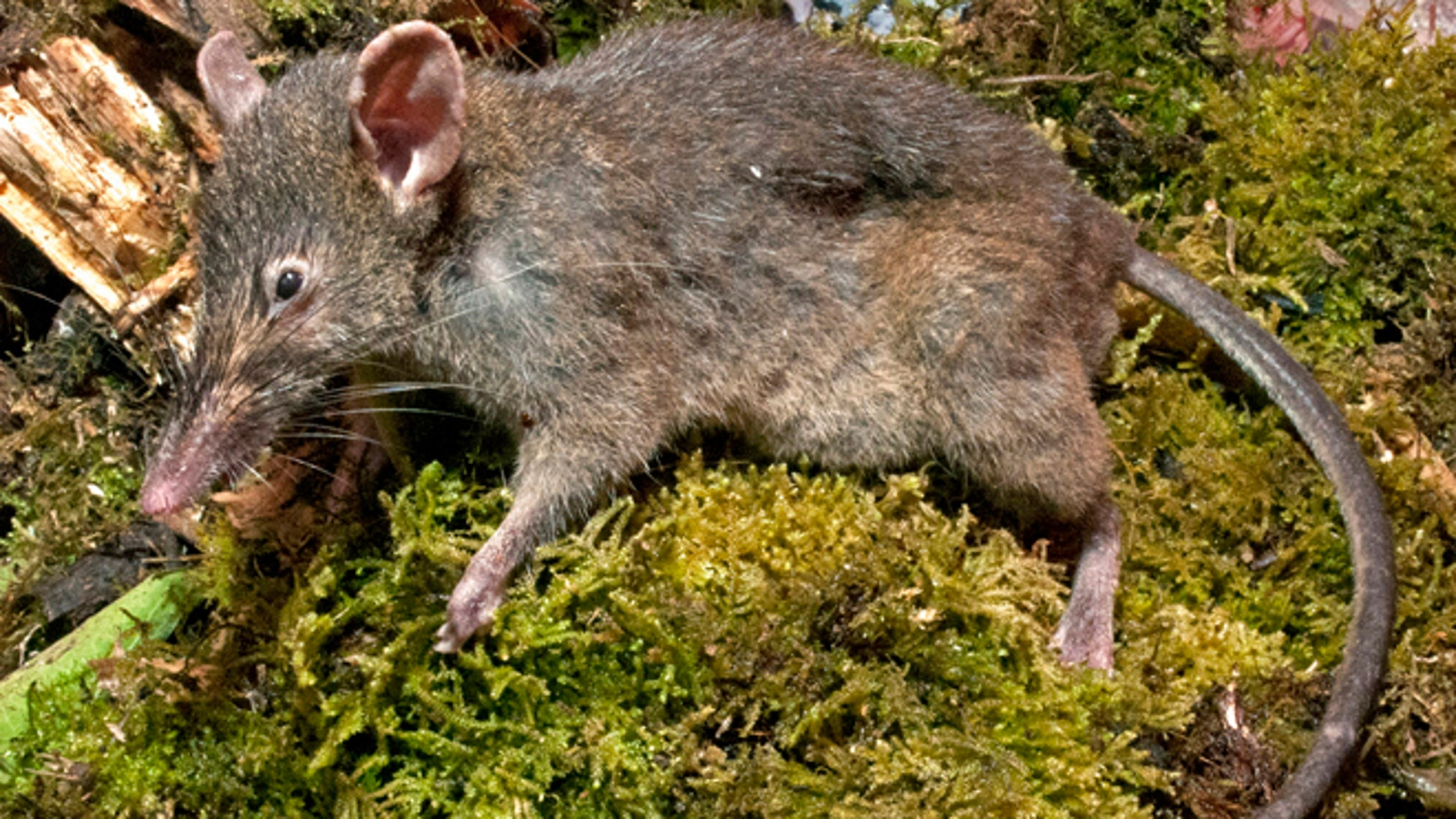 A Paucidentomys vermidax, a new species of rat, that was found in the forests of southern Sulawesi Island, Indonesia, in 2011. The unique rat that lives off earthworms and doesn't chew or gnaw is the only rodent out of more than 2,200 known species that does not have molars and instead has bicuspid upper incisors.