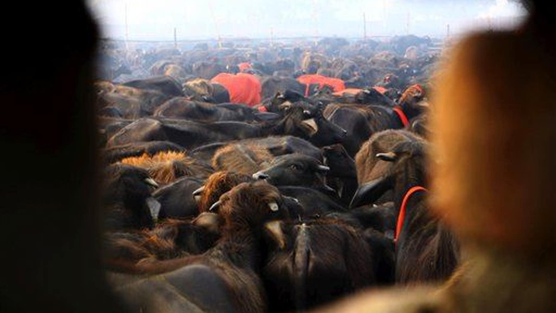 A herd of buffaloes stand before they are slaughtered during a mass sacrifice ceremony at Gadhimai temple.