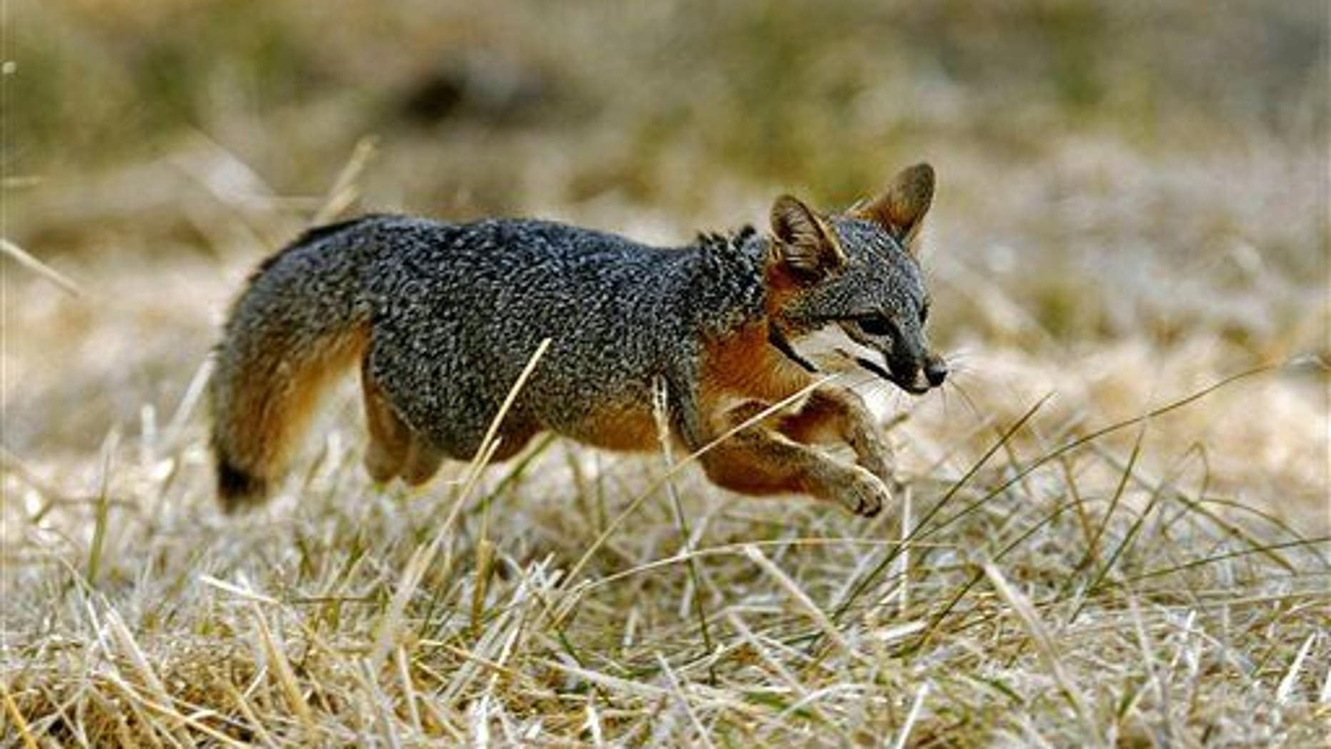 """What does the fox say? Maybe not """"woof,"""" but it looks like it can be bred to be more like Fido than we thought."""
