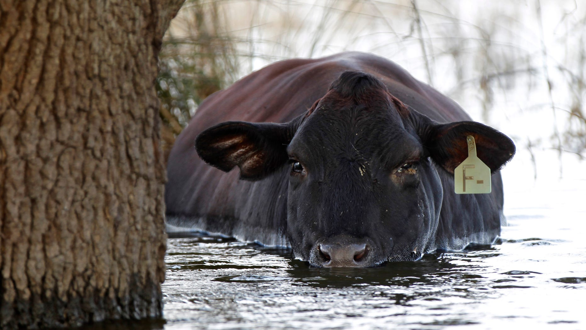 Sept. 4, 2012: In this file photo, a cow is seen stranded in floodwaters from Hurricane Isaac in Plaquemines Parish, La.