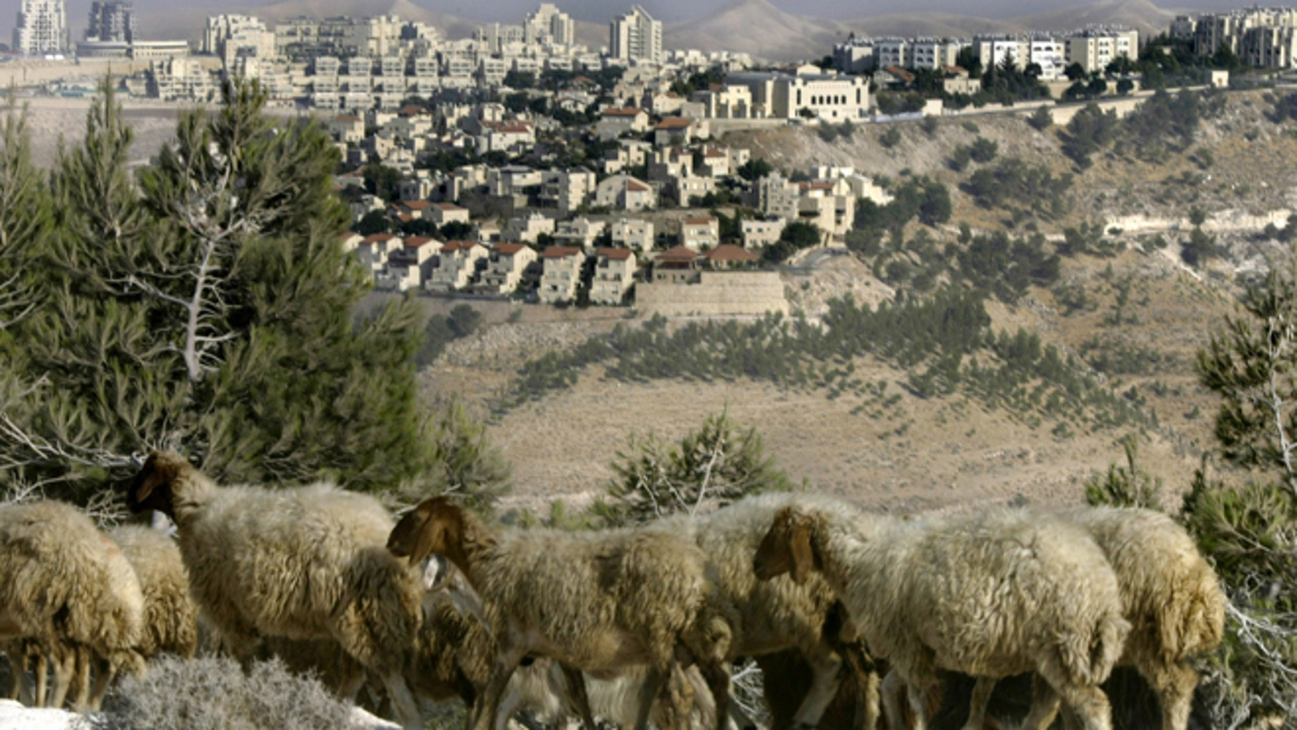Aug. 25, 2005: Sheep graze in front of Maaleh Adumim, the largest Jewish settlement in the West Bank, five miles (8 kilometers) east of Jerusalem.