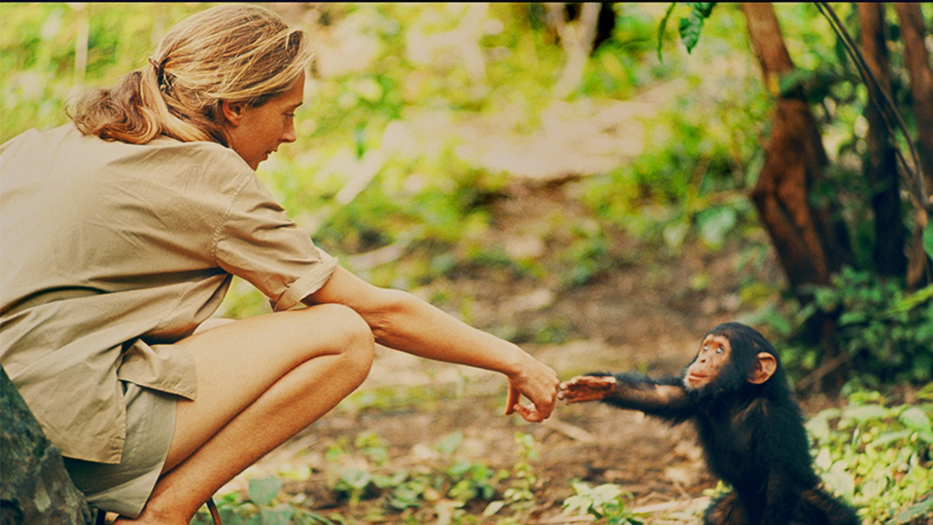 File photo: Gombe, Tanzania - Jane Goodall and infant chimpanzee Flint reach out to touch each other's hands. (National Geographic Creative/ Hugo van Lawick)