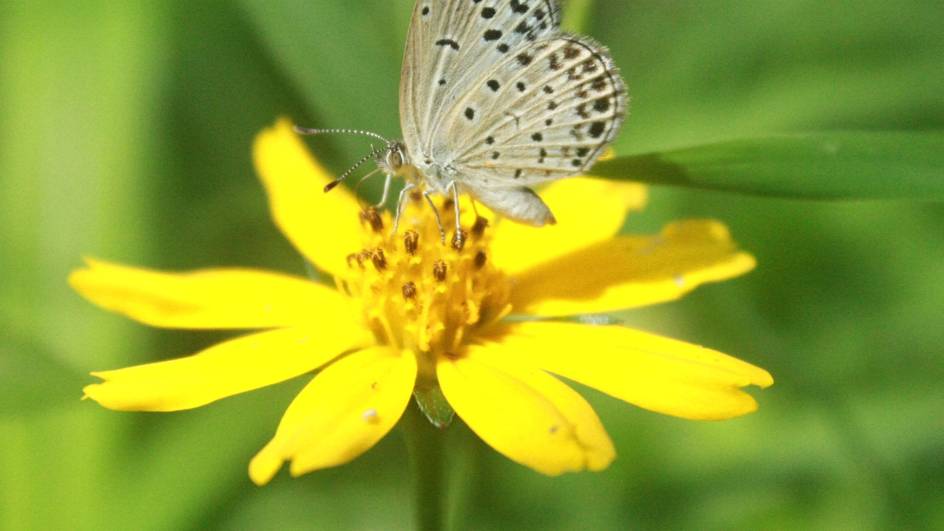 In this undated photo taken by Masaki Iwata of Univesrity of the Ryukyus and released by the university, a normal adult pale grass blue butterfly suckles nectar from a flower. Japanese researchers said they found mutations in butterflies caused by radiation from the crippled Fukushima Dai-Ichi nuclear power plant. A member of the team conducting the research, Joji Otaki of the university, said Wednesday, Aug. 15, 2012, that his group's findings show radiation emitted following catastrophic meltdowns in three of the plants reactors after it was damaged by a 9.0-magnitude earthquake and tsunami on March 11, 2011 is affecting the environment. (AP Photo/Masaki Iwata of University of the Ryukyus) NO SALES, MANDATORY CREDIT, EDITORIAL USE ONLY