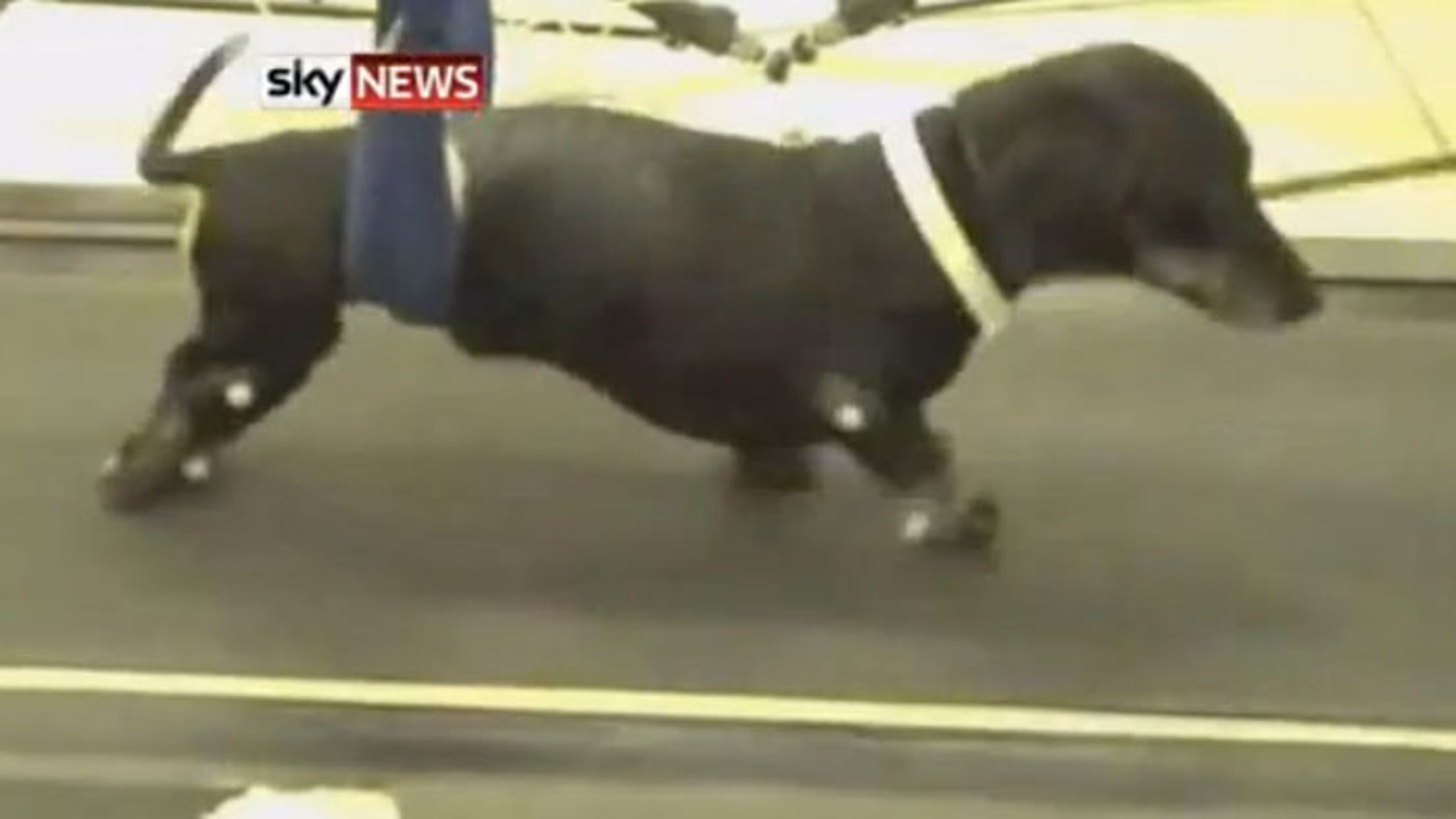 Paralyzed dogs walk again after new treatment | Fox News