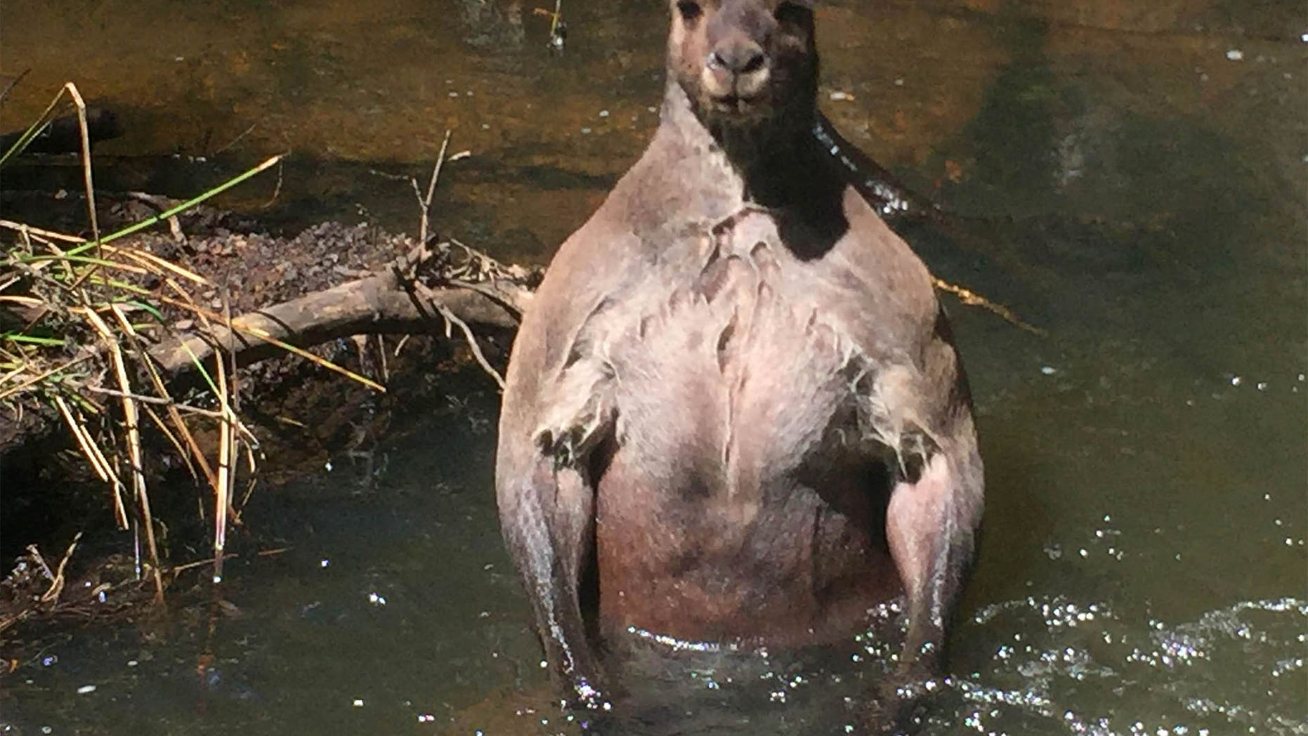 PIC FROM Jackson Vincent / Caters News - (PICTURED:Kangaroo in the creek) - This is the bizarre moment a gardener spotted a threatening bodybuilder 16st kangaroo bathing its bulging biceps in an Australian creek. Jackson Vincent snapped these astounding photographs of the huge roo tensing its rippling muscles in Boodjidup Creek in Margaret River, Western Australia, yesterday (TUES). The 27-year-old couldnt believe his eyes when he clocked the mammoth 6ft 5in mammal standing in the water  and feared it could be preparing to attack beloved dog Dharma. SEE CATERS COPY
