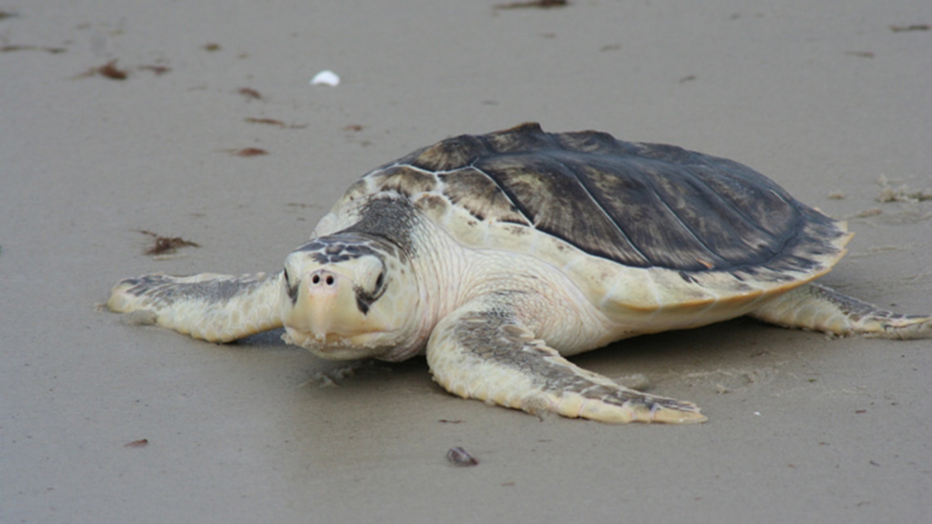 At least 19 Kemp's Ridley sea turtles -- the most endangered of the species -- have been found on the southwest Florida beaches.