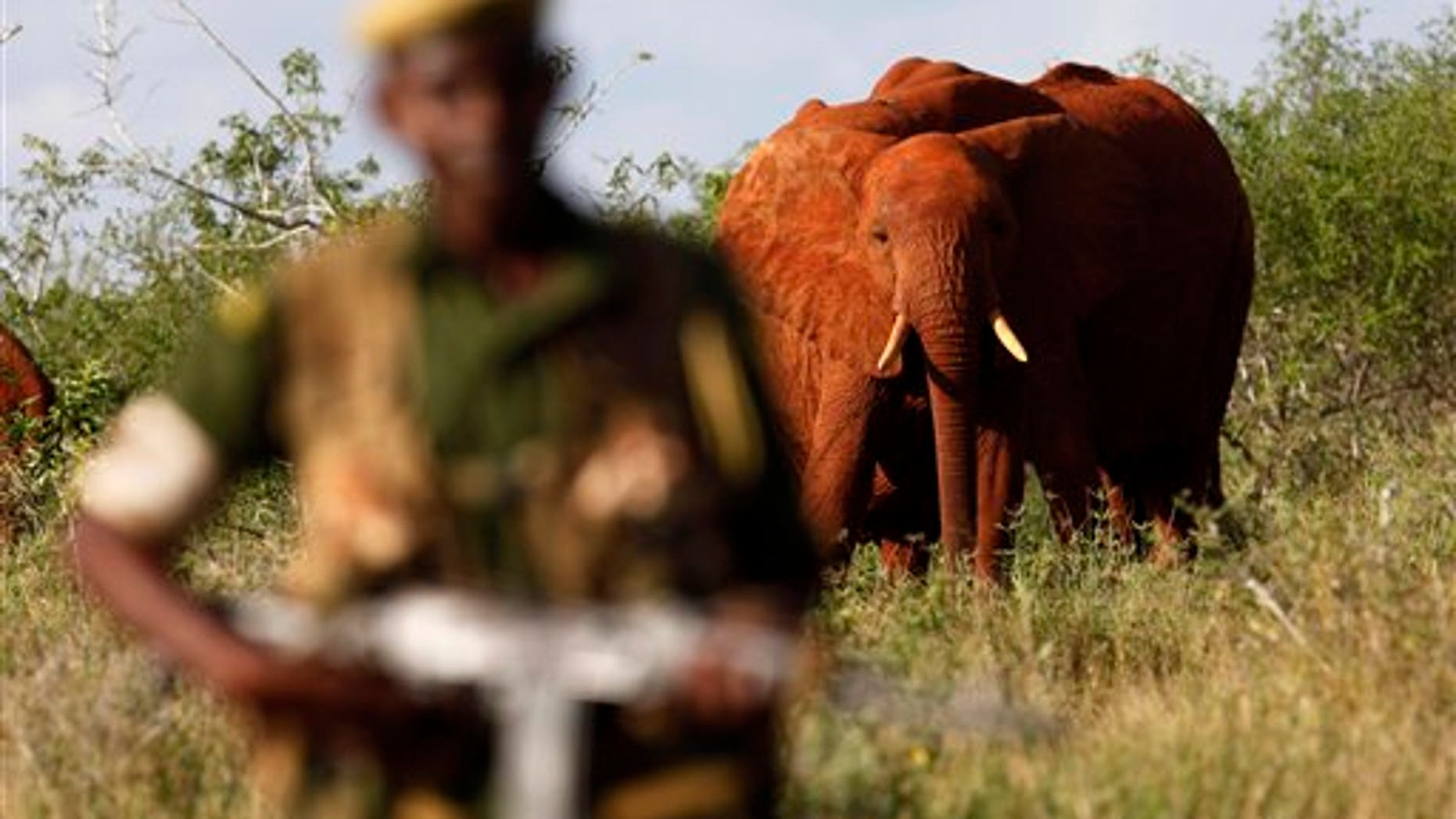 March 9, 2010: Kenya Wildlife Ranger Mohamed Kamanya is seen in front of a herd of elephants in the Tsavo East national park, Kenya.